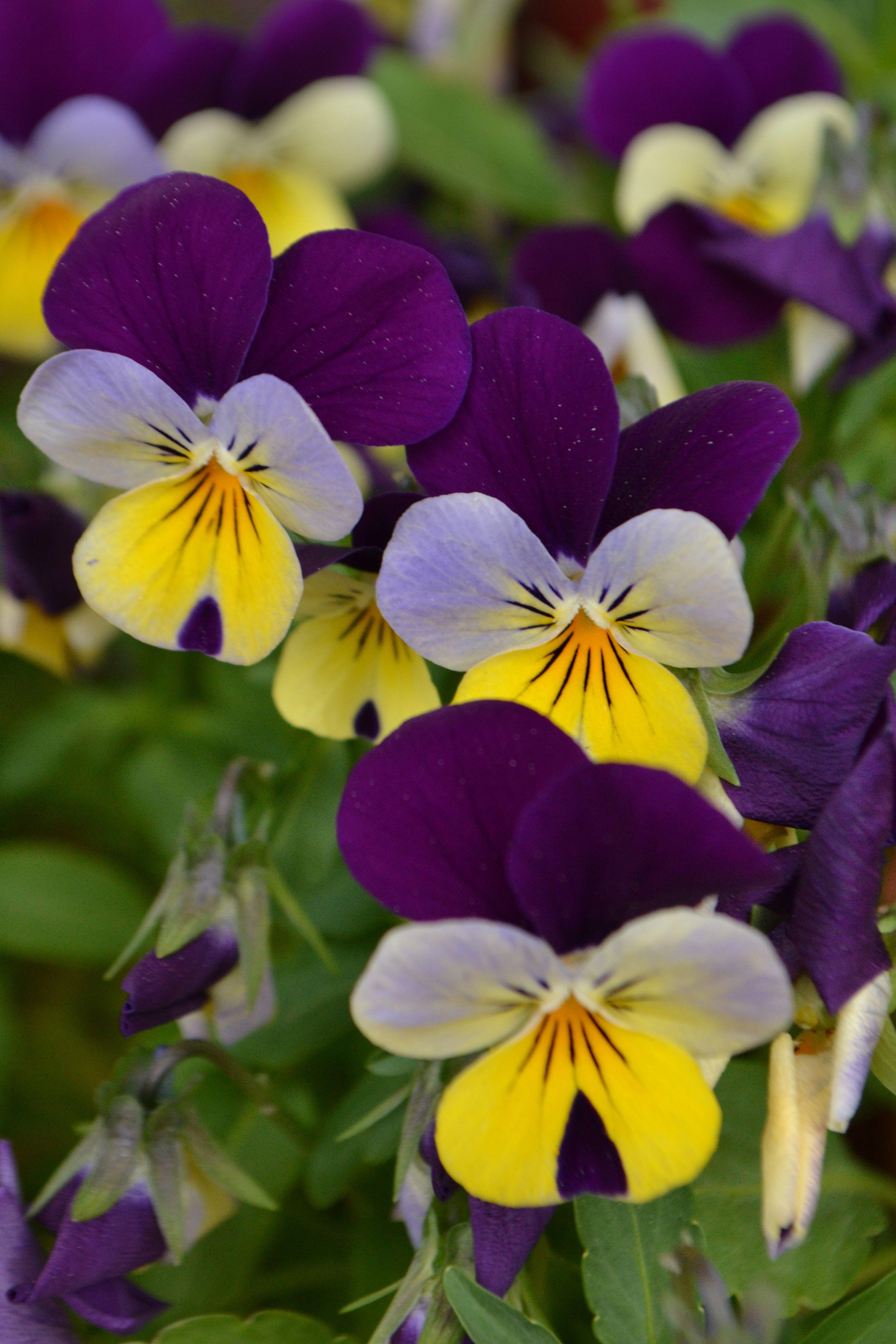 Viola Tricolor whole Flower Elegant Viola Tricolor Green Thumb Pinterest