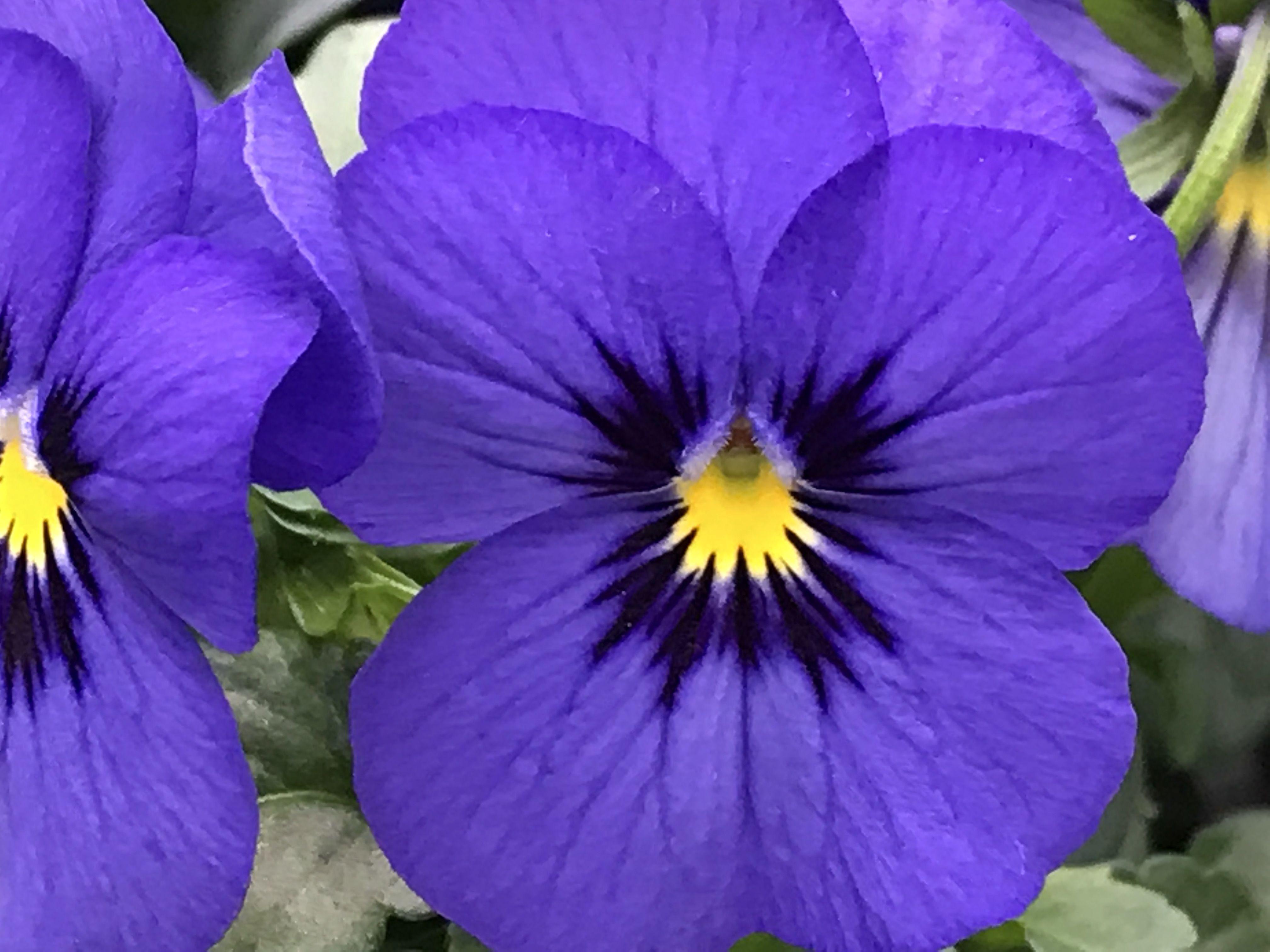 Viola Cornuta Flower Portrait