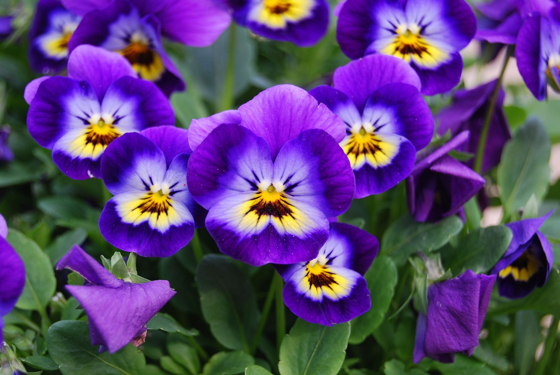 Viola flowers 1920 5894c5563df78caebce06cfc