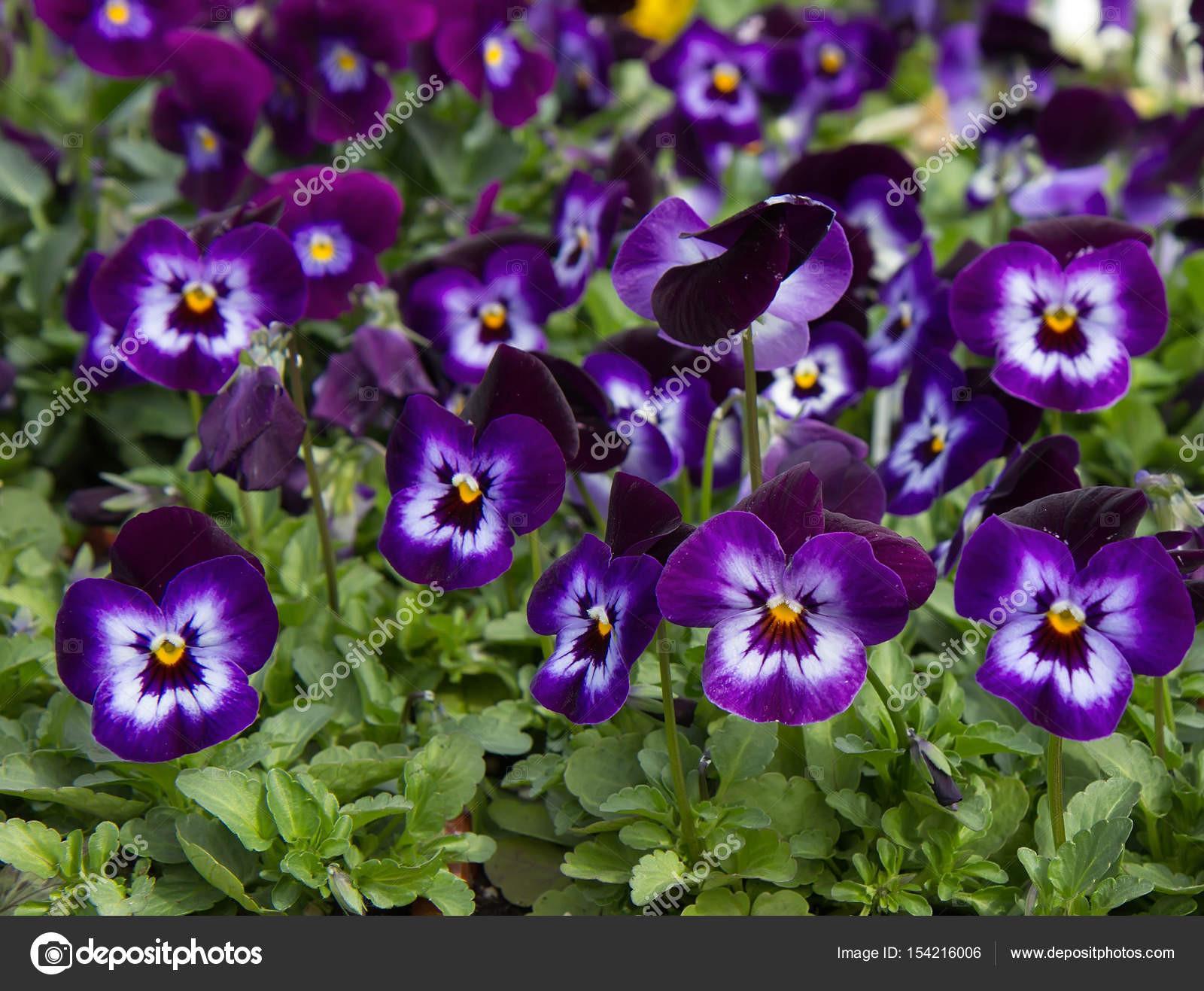Kvetouc květiny maceÅ¡ka Viola x wittrockiana Květinové pozad — Fotografie od sarah jane