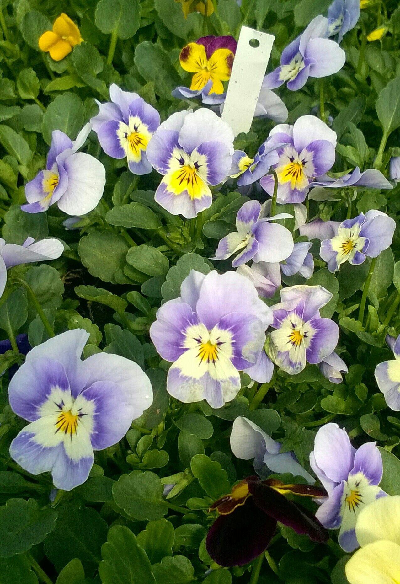Viola · Viola cornuta