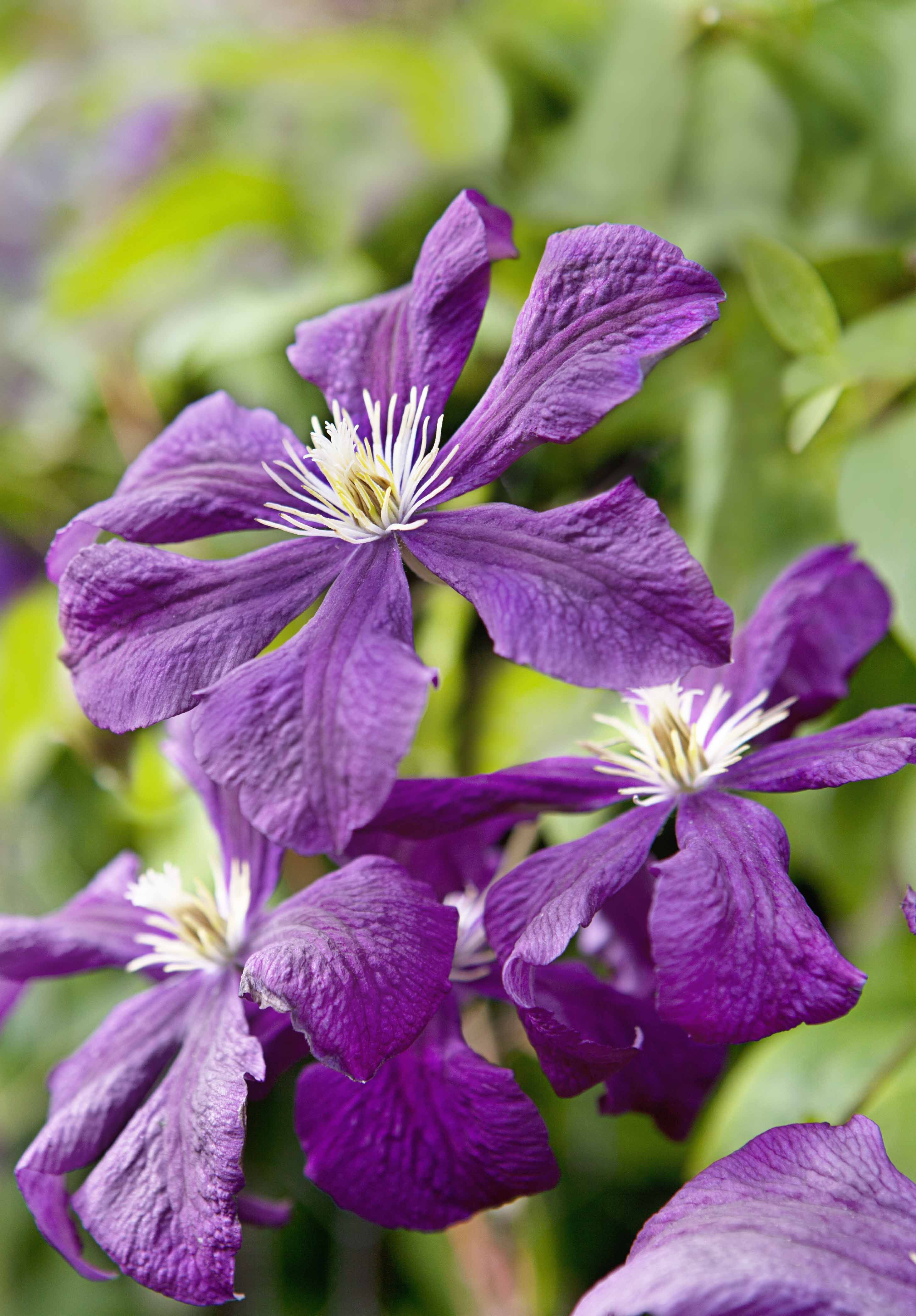 Clematis Etoile Violette with an RHS Award of Garden Merit this stunning