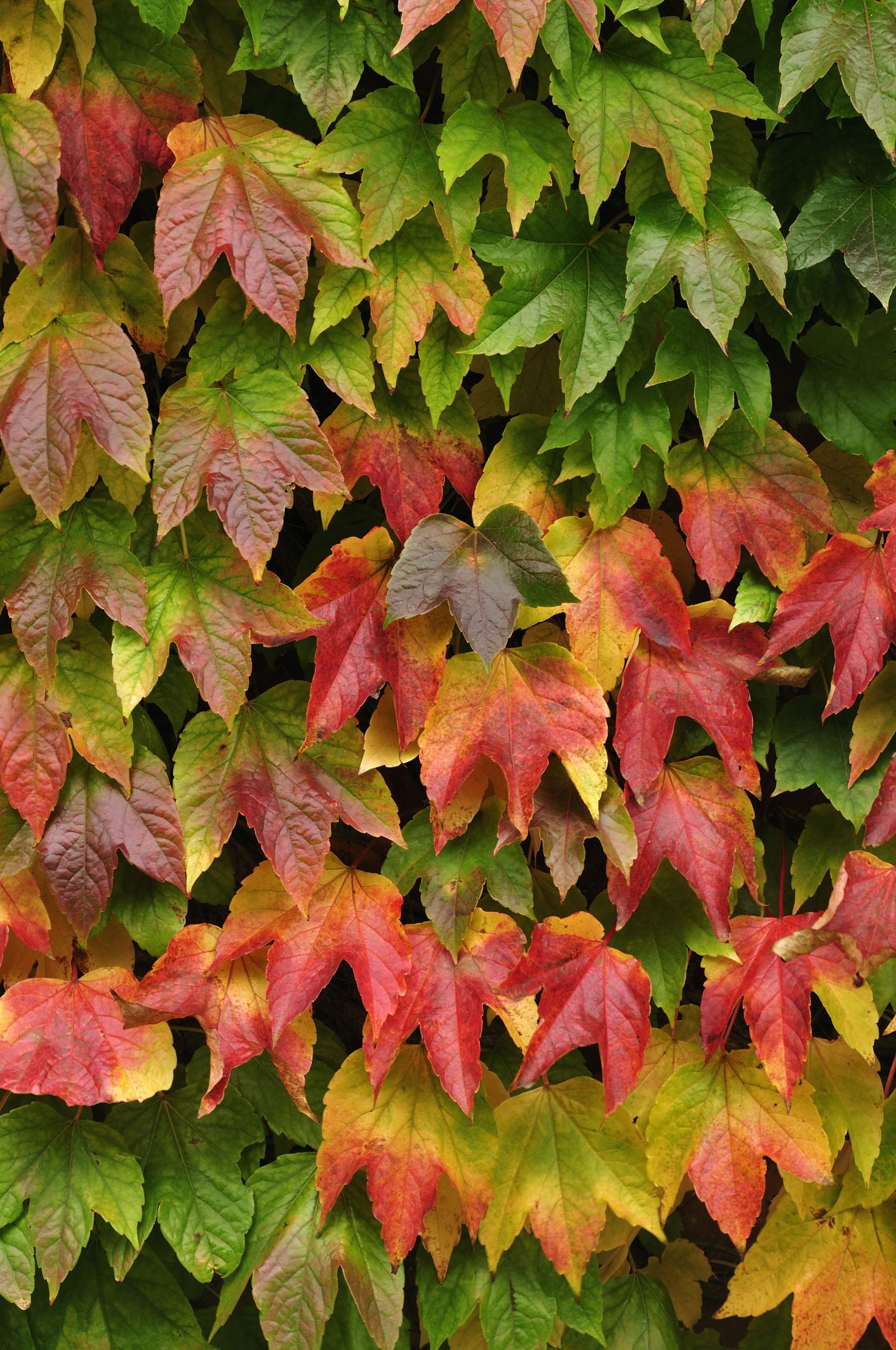 Virginia Creeper Parthenocissus quinquefolia Zones 4 9