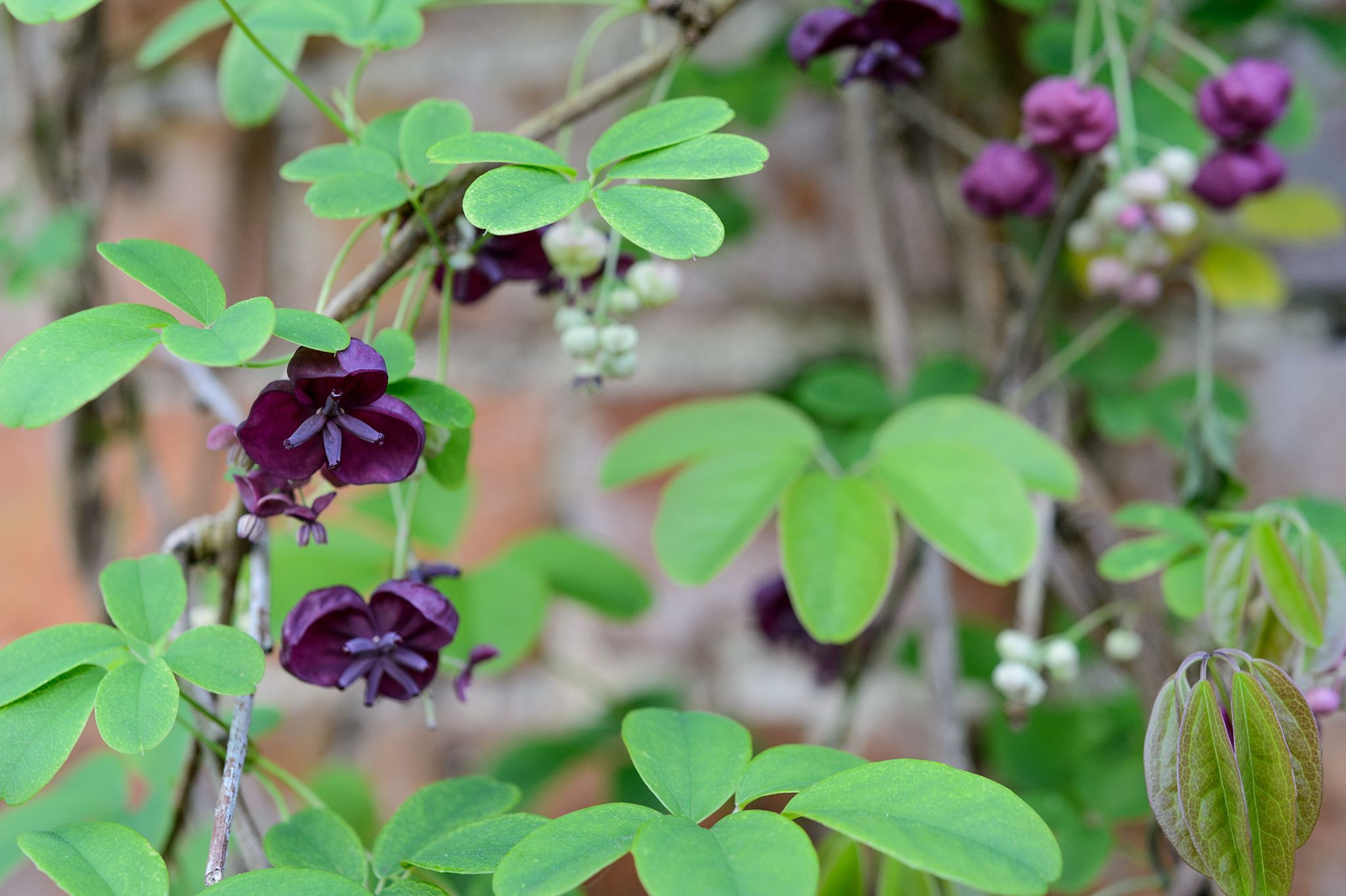 Discover five beautiful plants for a north facing wall including ivy Chinese virginia