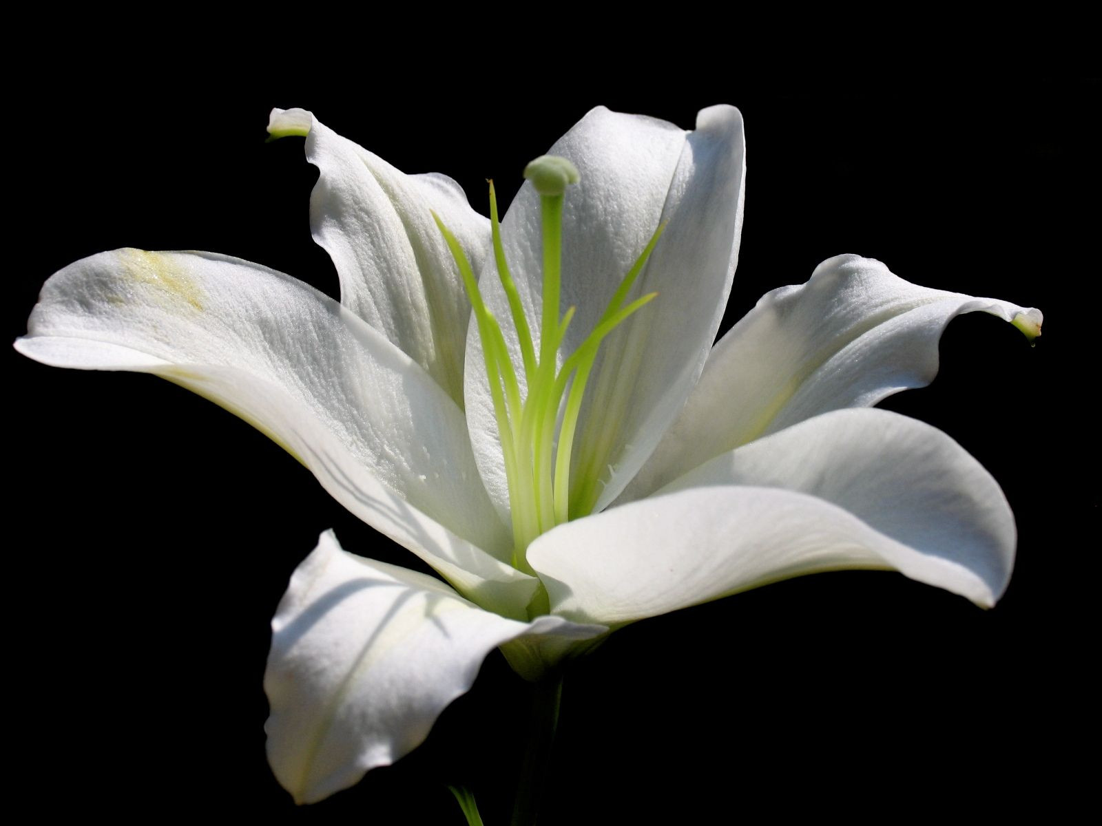 white water lily flower Google Search
