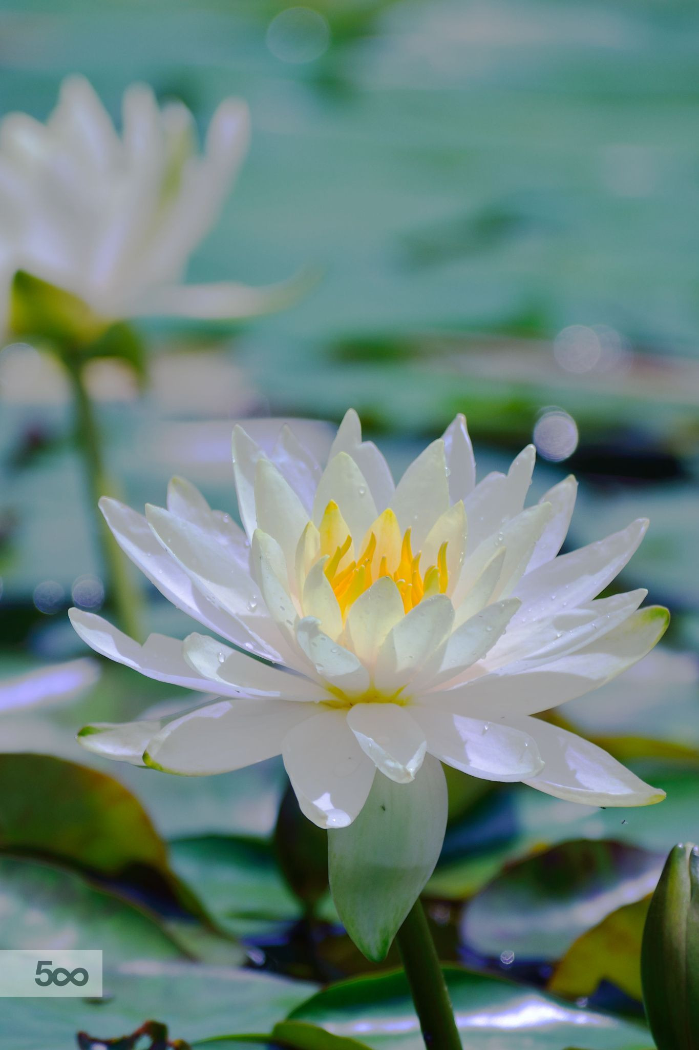 Waterside lover by PEC GG on 500px Lotus FlowersWater