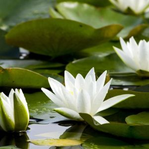 Waterlilly Flower Inspirational Nymphaea Odorata American White Water Lily
