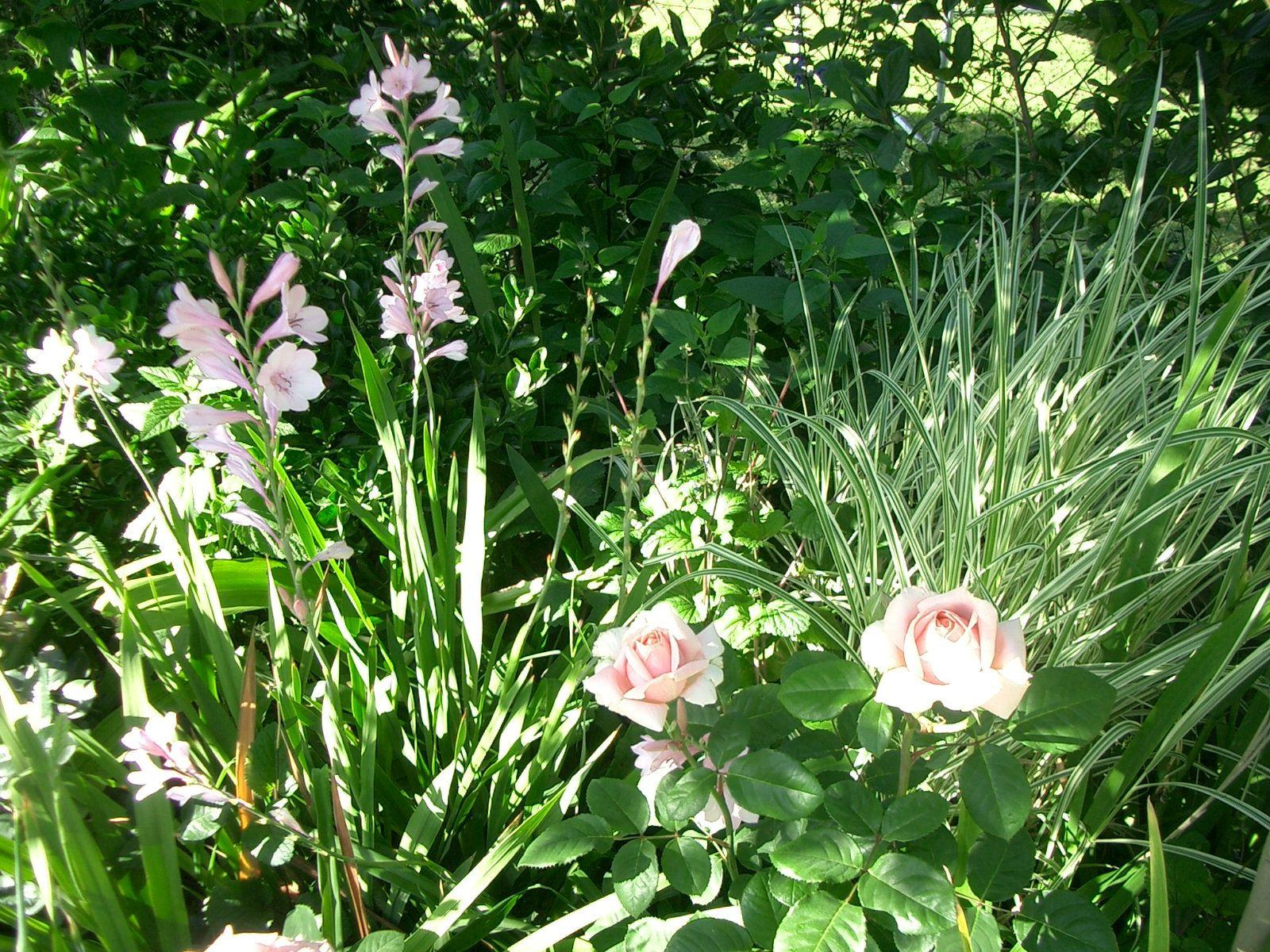 watsonia roses and miscantus my back garden romina guerrero
