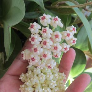 Wax Plant Flower Unique Hoya Pachyclada Red Corona and White Corona I M Looking for