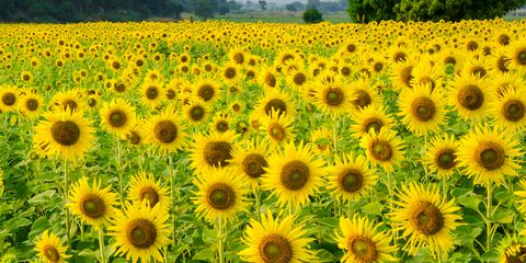 Where To Buy Sunflowers Near Me - Beautiful Flower ...