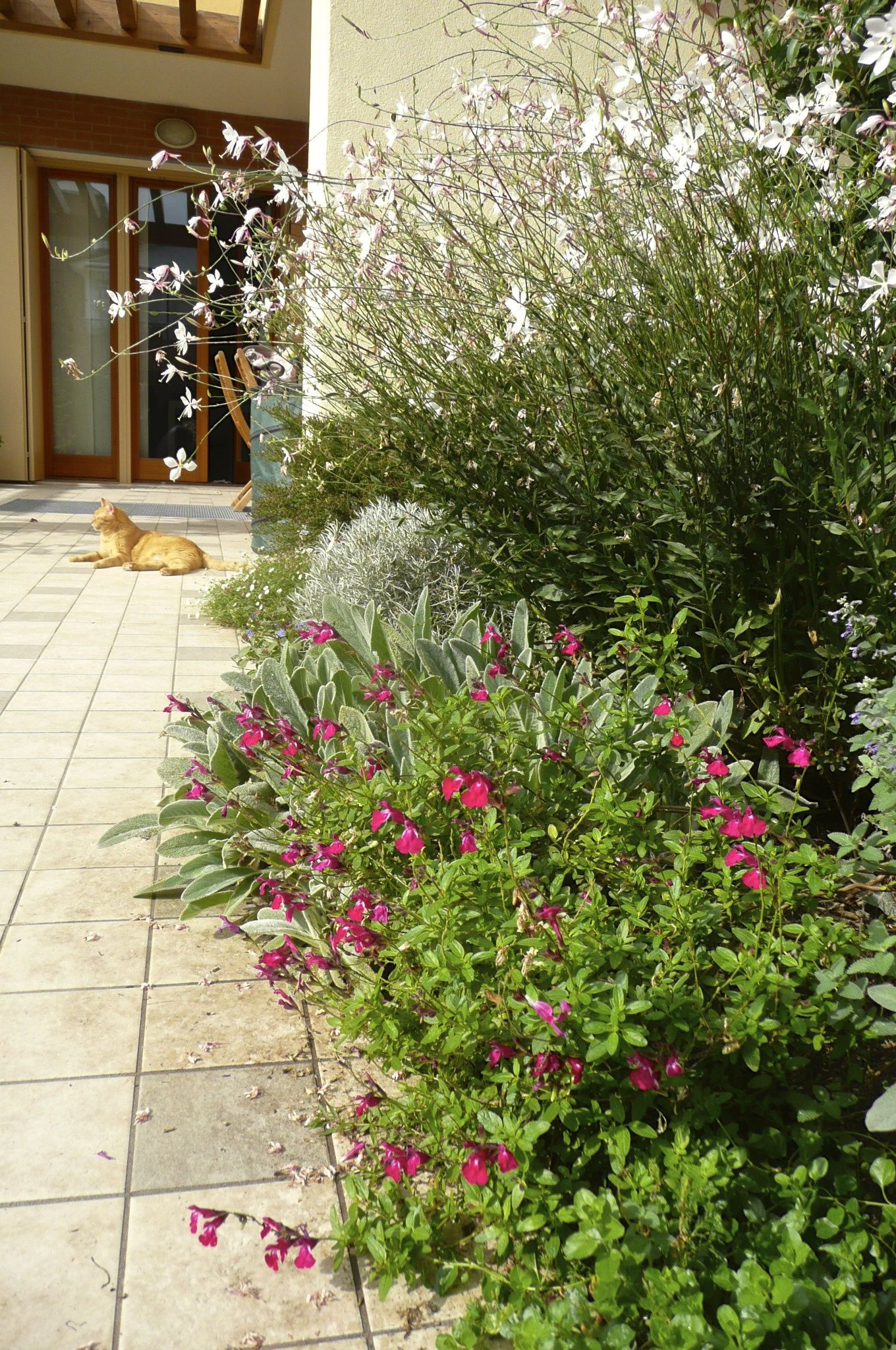October 2012 Border with Gaura lindheimeri Whirling Butterflies Salvia x jamensis Rapso and others