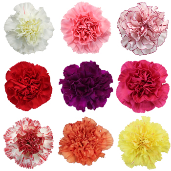 7a7b86dc0 By  https://www.fiftyflowers.com/site_files/FiftyFlowers/Image/Product/Mixed-Color- Carnations-350_8e86c0d6.jpg