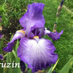 White Dutch Irises Flower Unique Cruzin Happygodaylily Iris Pinterest