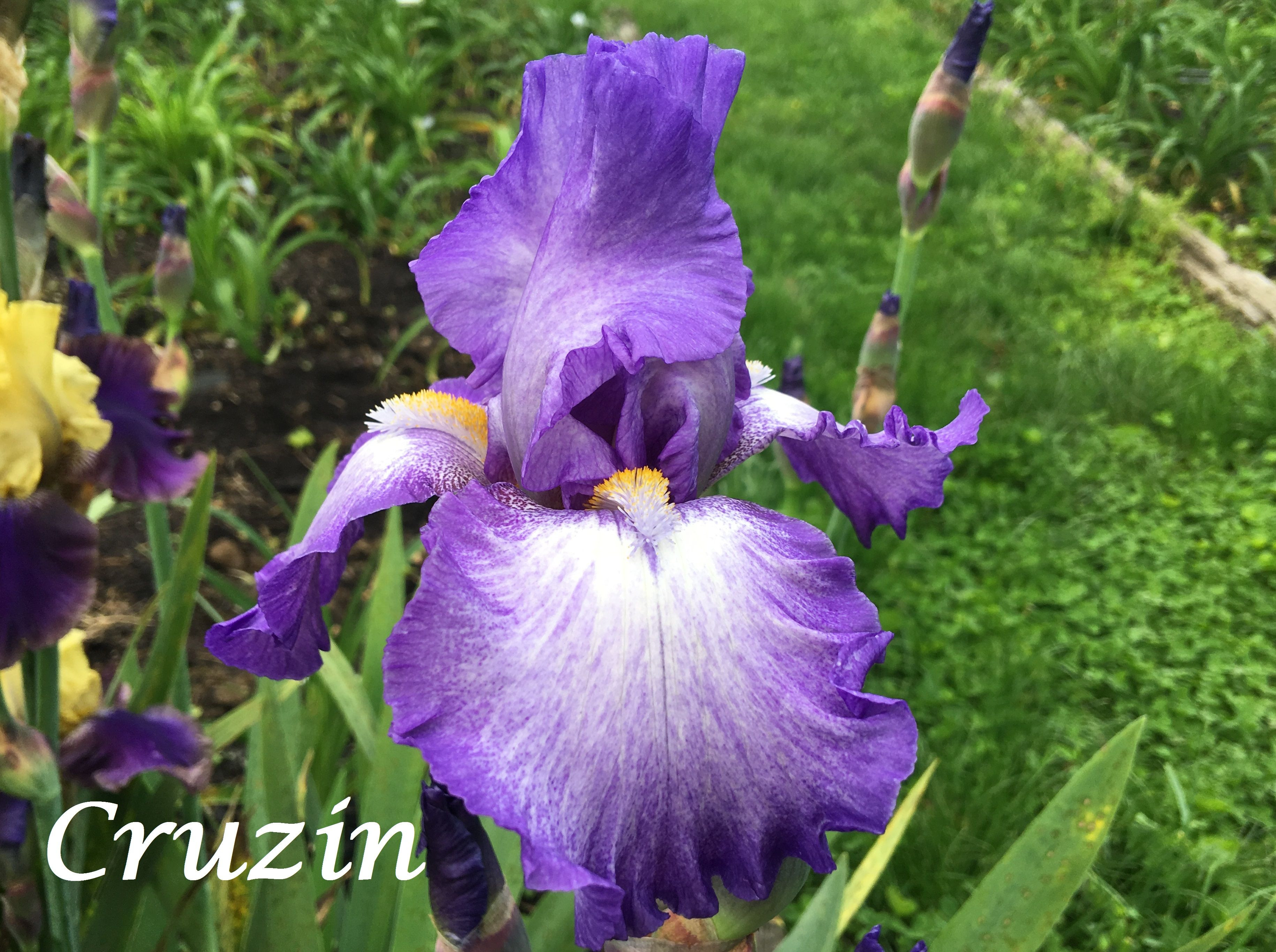 Flowers · Cruzin LawIrisIrisesBearded Iris