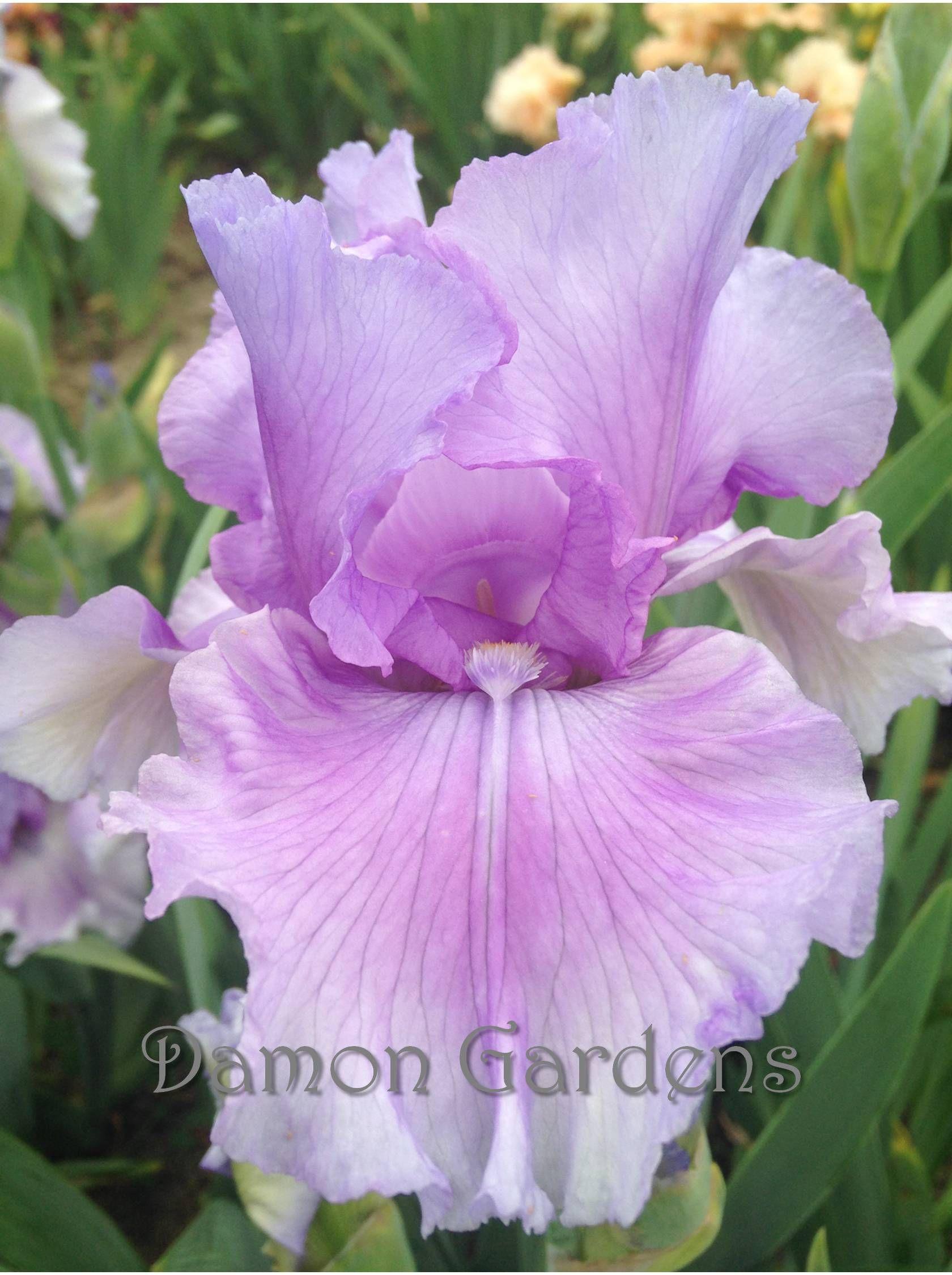 Iris Orchid Dove