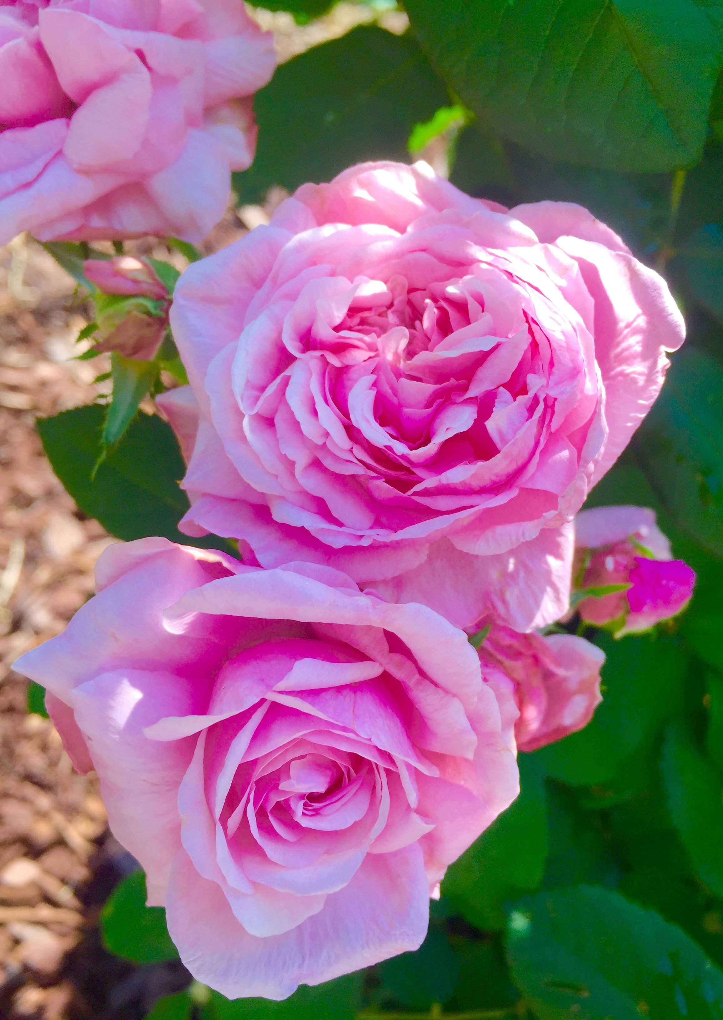Pin by Laura Vanvalkenburg A Rose Every Color Pinterest Scheme Design Ideas Rose Flower Meaning