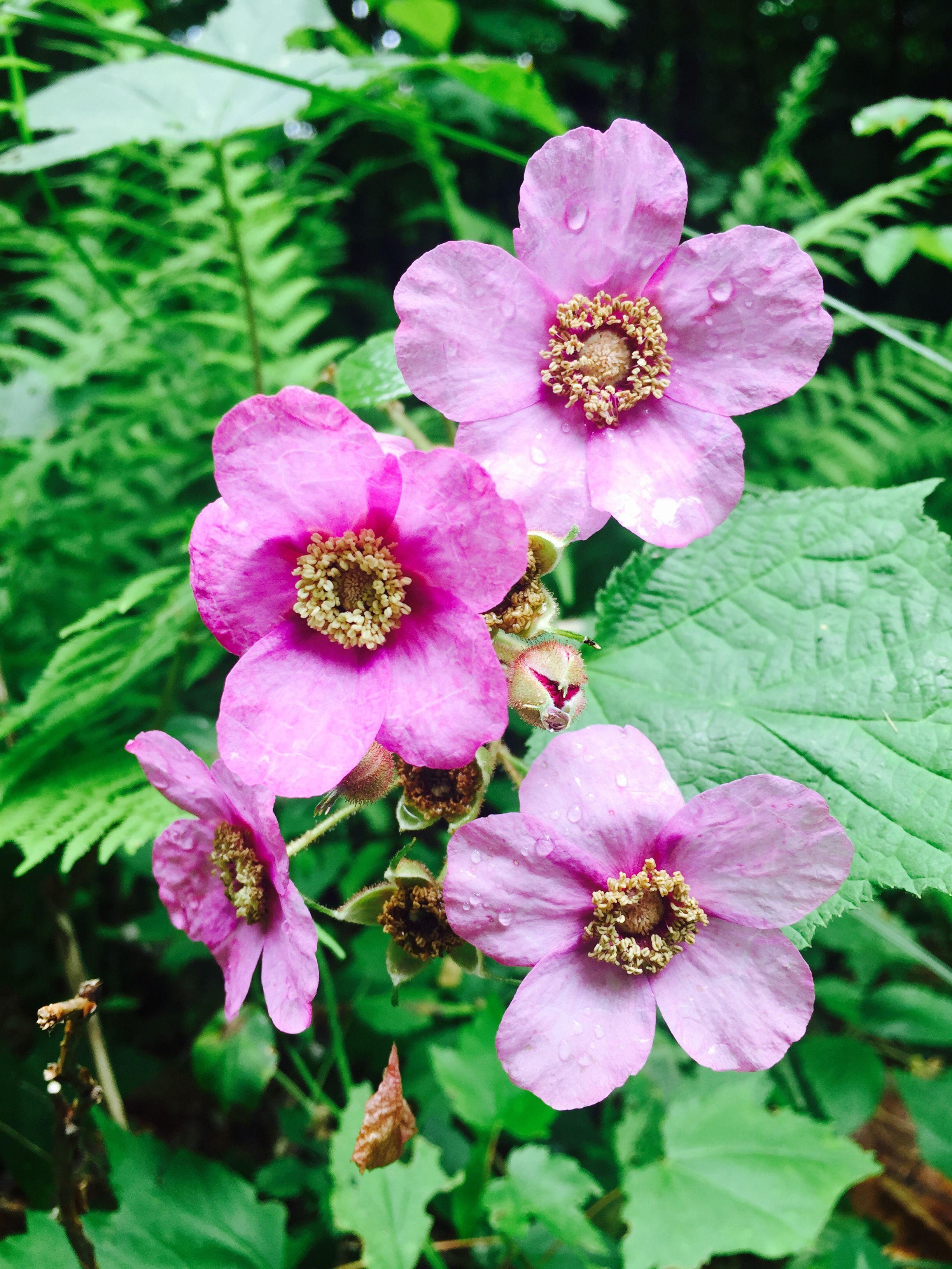 Wild Light Violet Roses Upper New York State