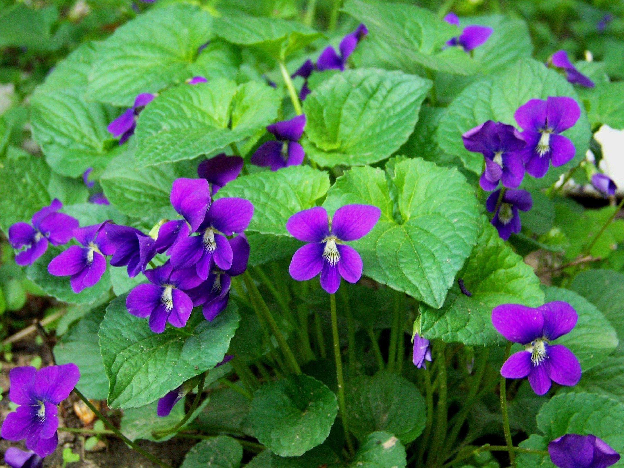 When growing violets other than watering following planting and occasional watering throughout the growing season wild violet flowers require very little