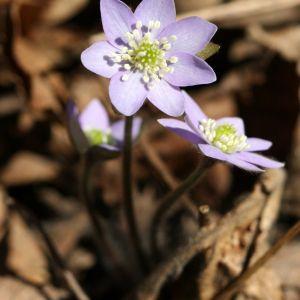 Windflower Flower Lovely Datei Anemone Americana –