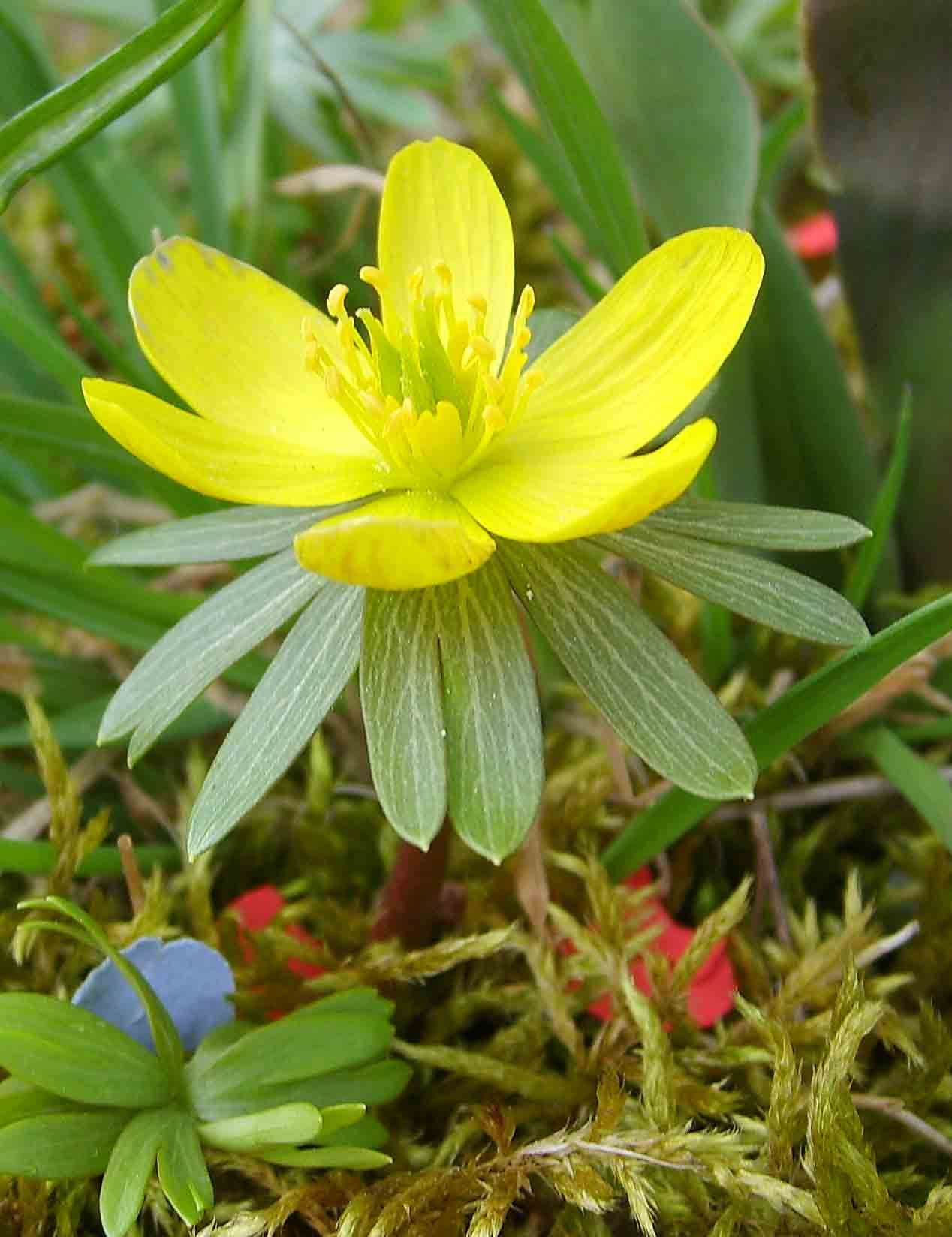 "Winter Aconite Eranthis hyemalis is a tuberous bulb native to deciduous woodlands of Europe growing 2 3"" tall it carpets the late winter spring forest"
