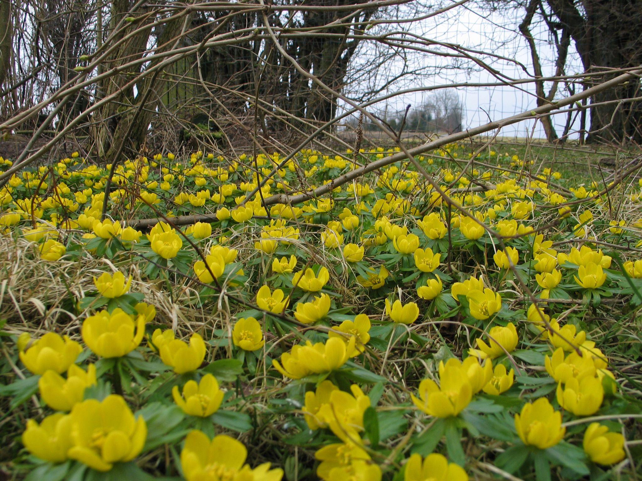 Erantis Eranthis hyemalis 10 cm gule blomster fra f¸rst i februar