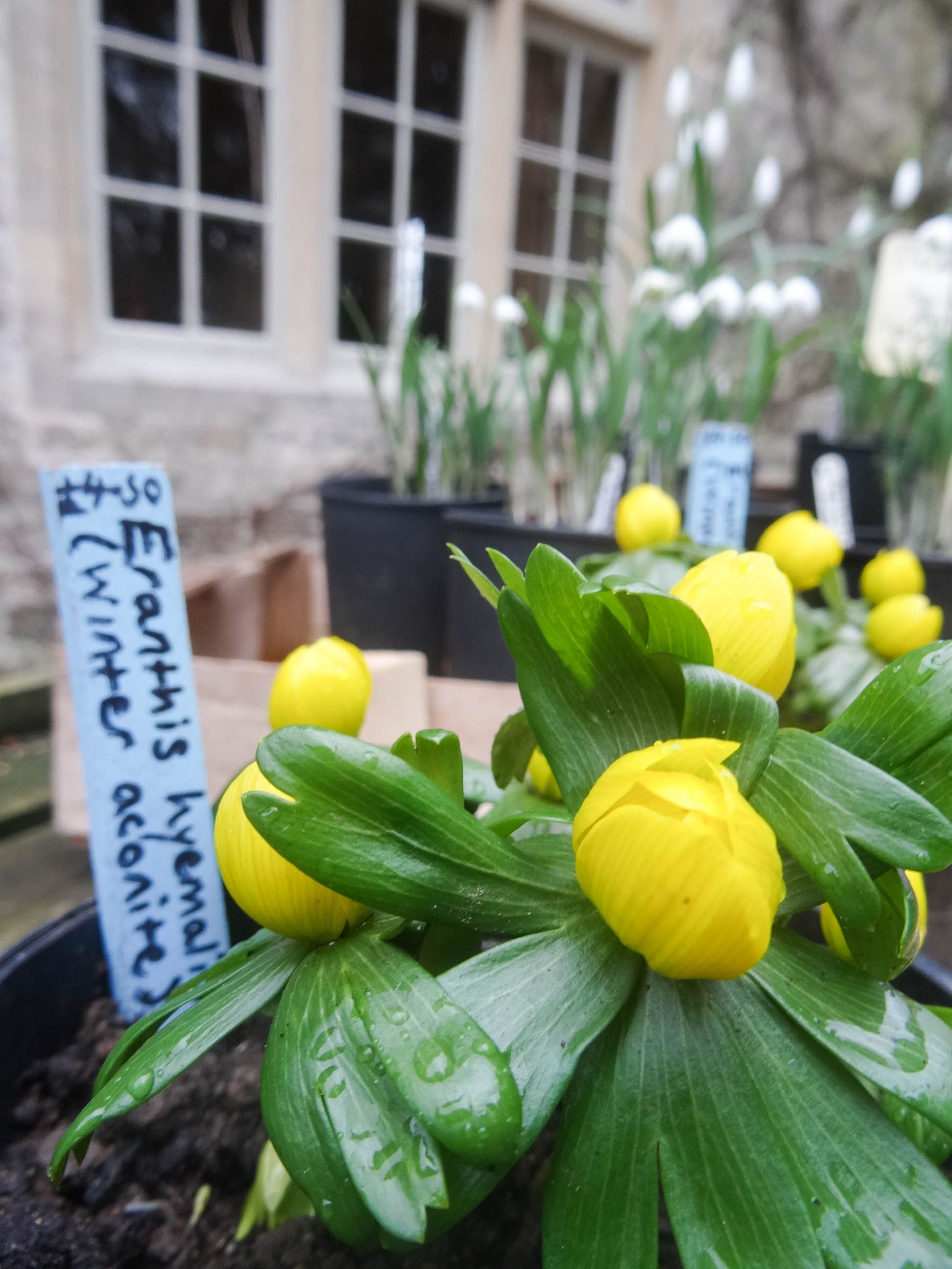 Winter aconites and snowdrops on display on the barrow at the entrance to Barnsley House Hotel