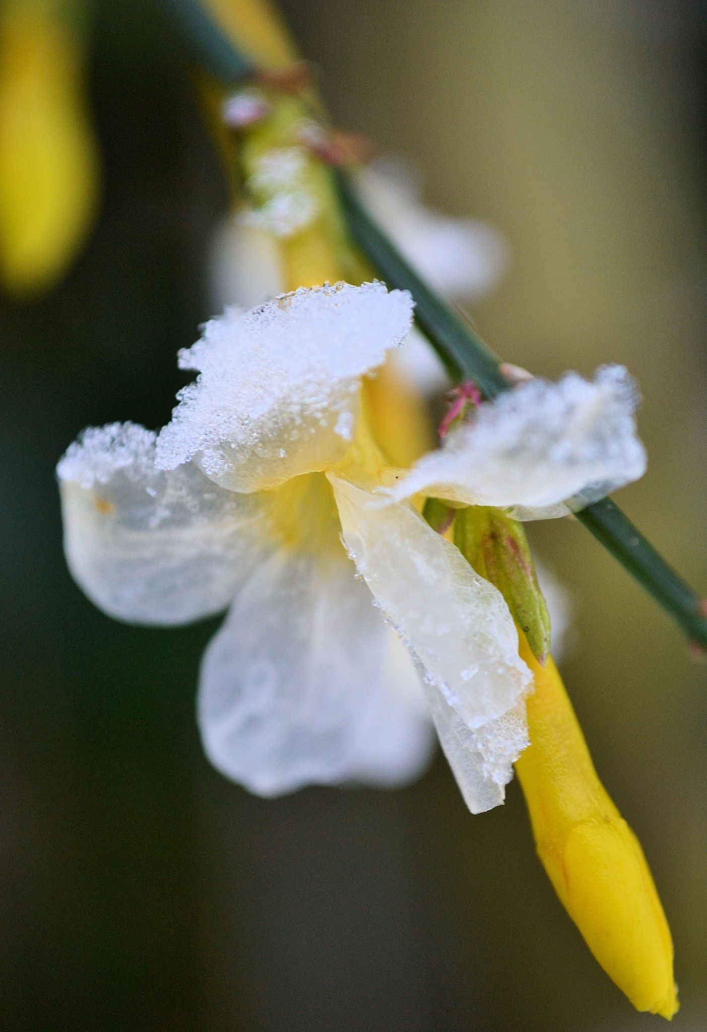 Iced winter jasmine by Heather Aplin on 500px