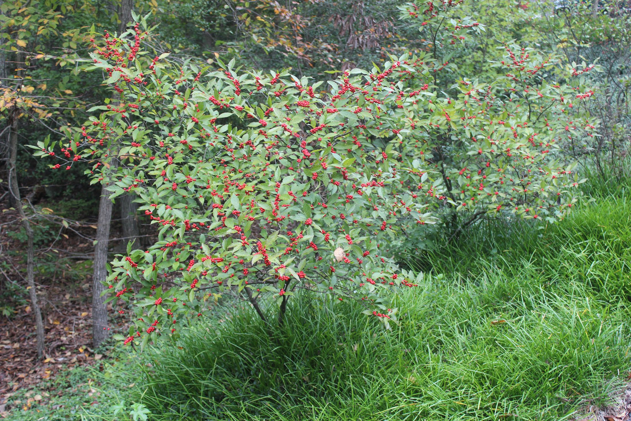 winterberry shrub