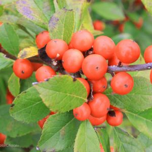 Winterberry Flower Fresh Little Goblin orange Winterberry Holly Ilex Verticillata