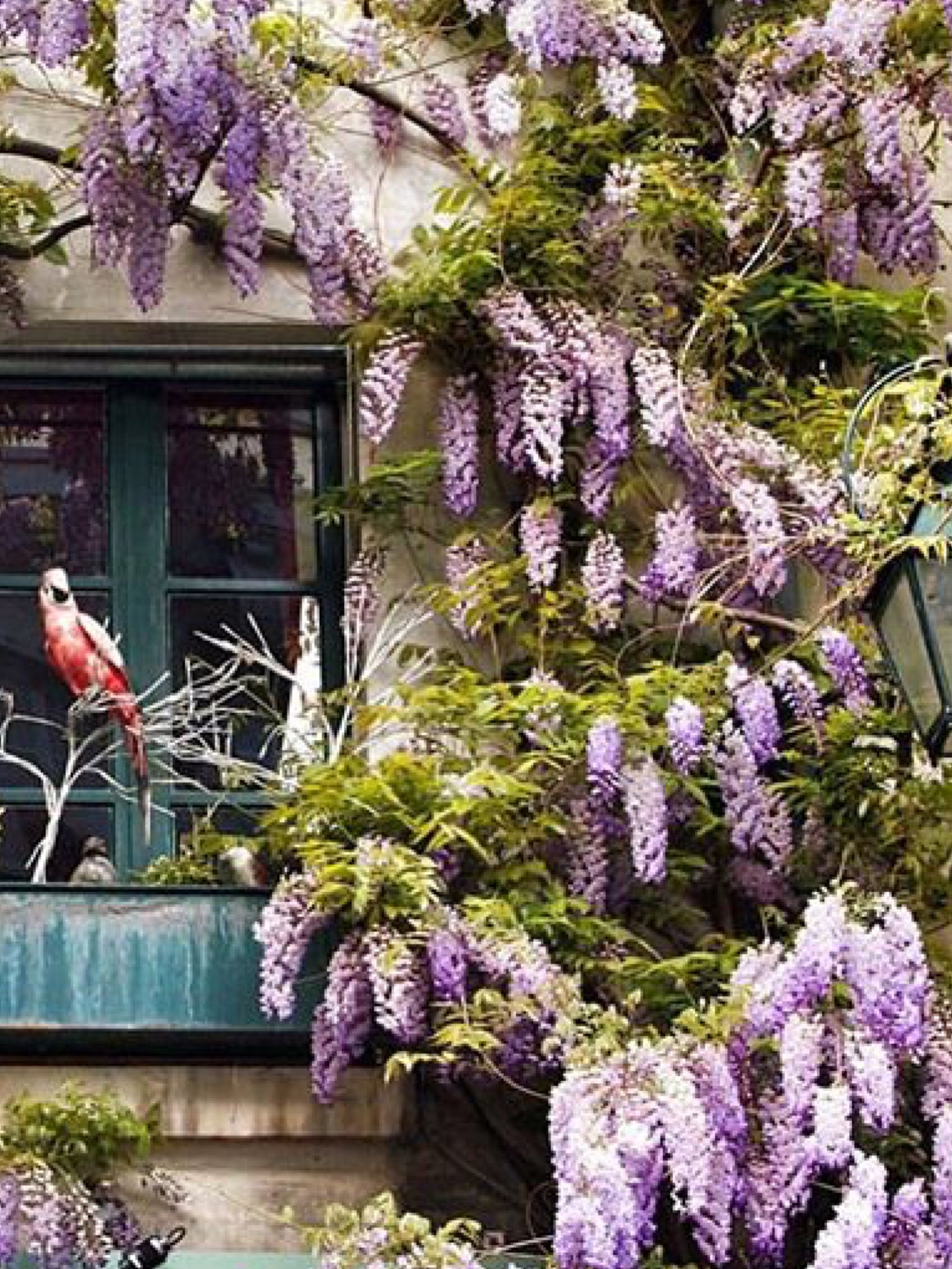 Wisteria with a parrot