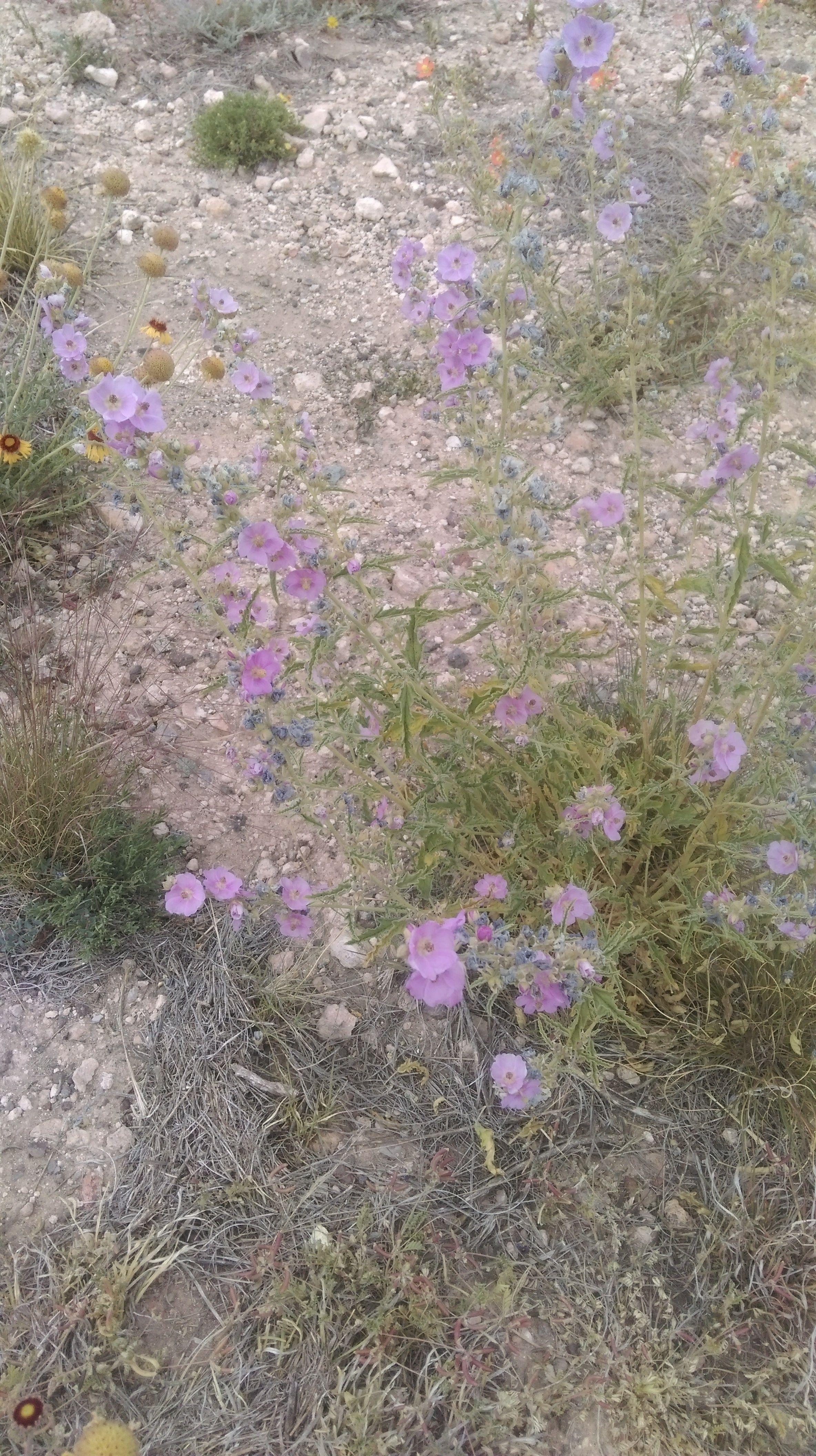 Pink globe mallow Sphaeralcea angustifolia in Fort Davis TX