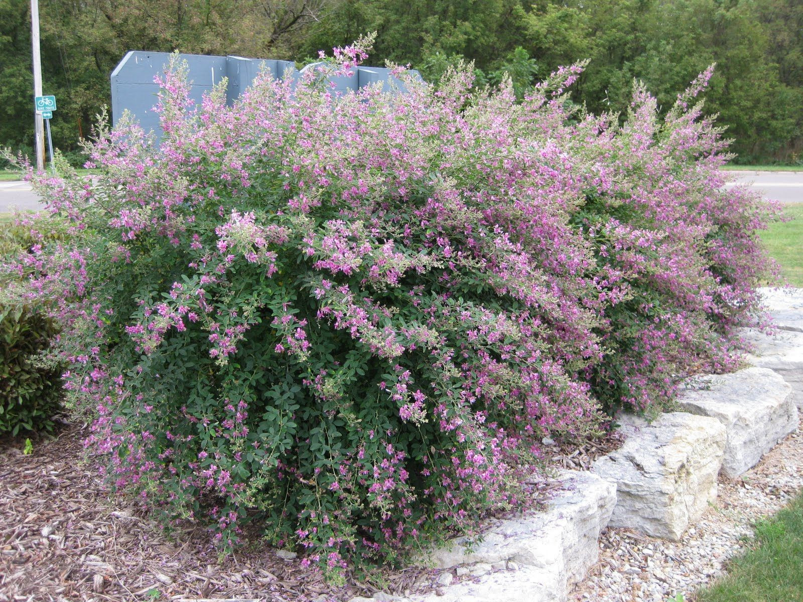 Bush Clover Gibraltar Lespedeza thumbergii 5 6 tall Blooms Aug September Sub shrub that s to the ground each year