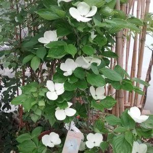 Xanthoceras sorbifolium Flower Luxury Cornus Venus Giardinaggio Pinterest