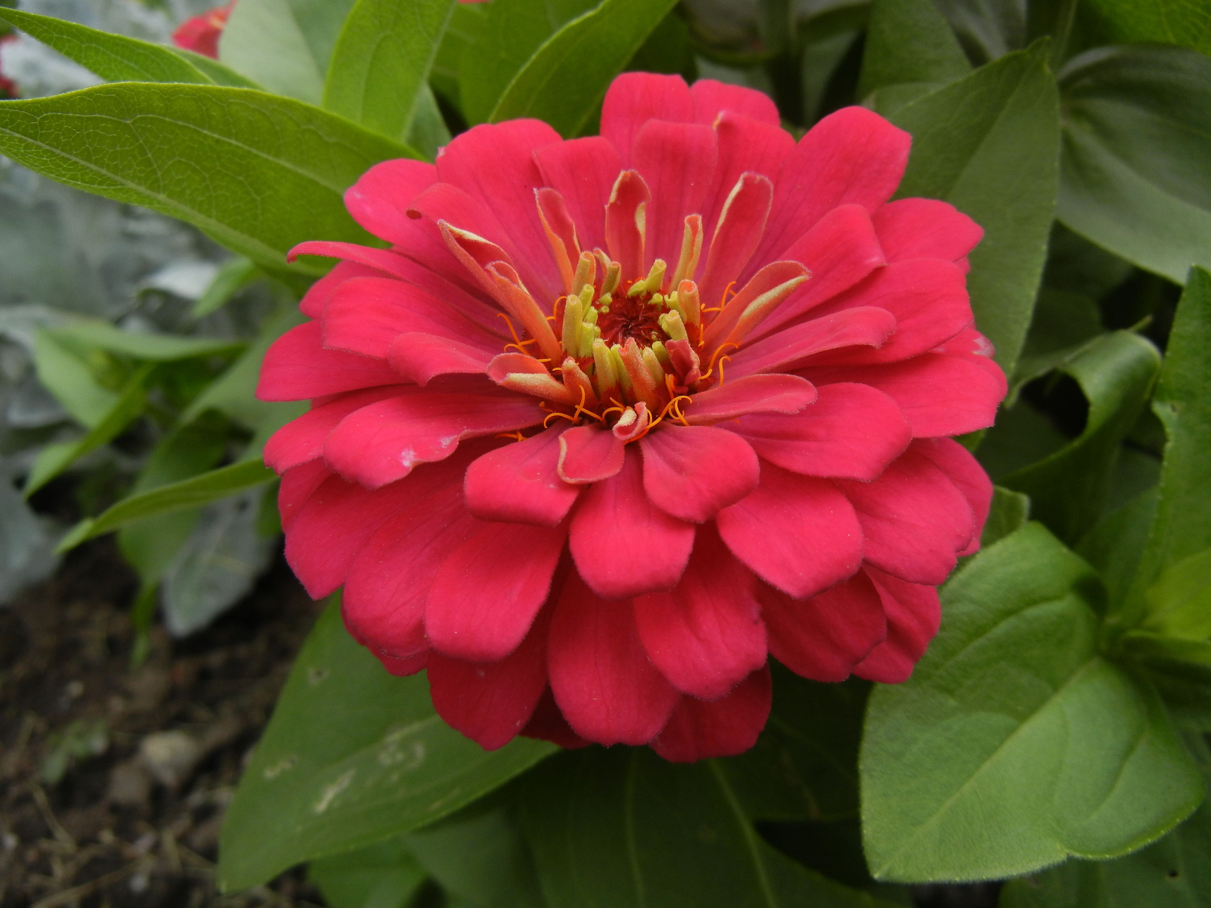 Zinnia at Murray Park Murray City Utah July 2016 Murray Park Murray City Utah Pinterest