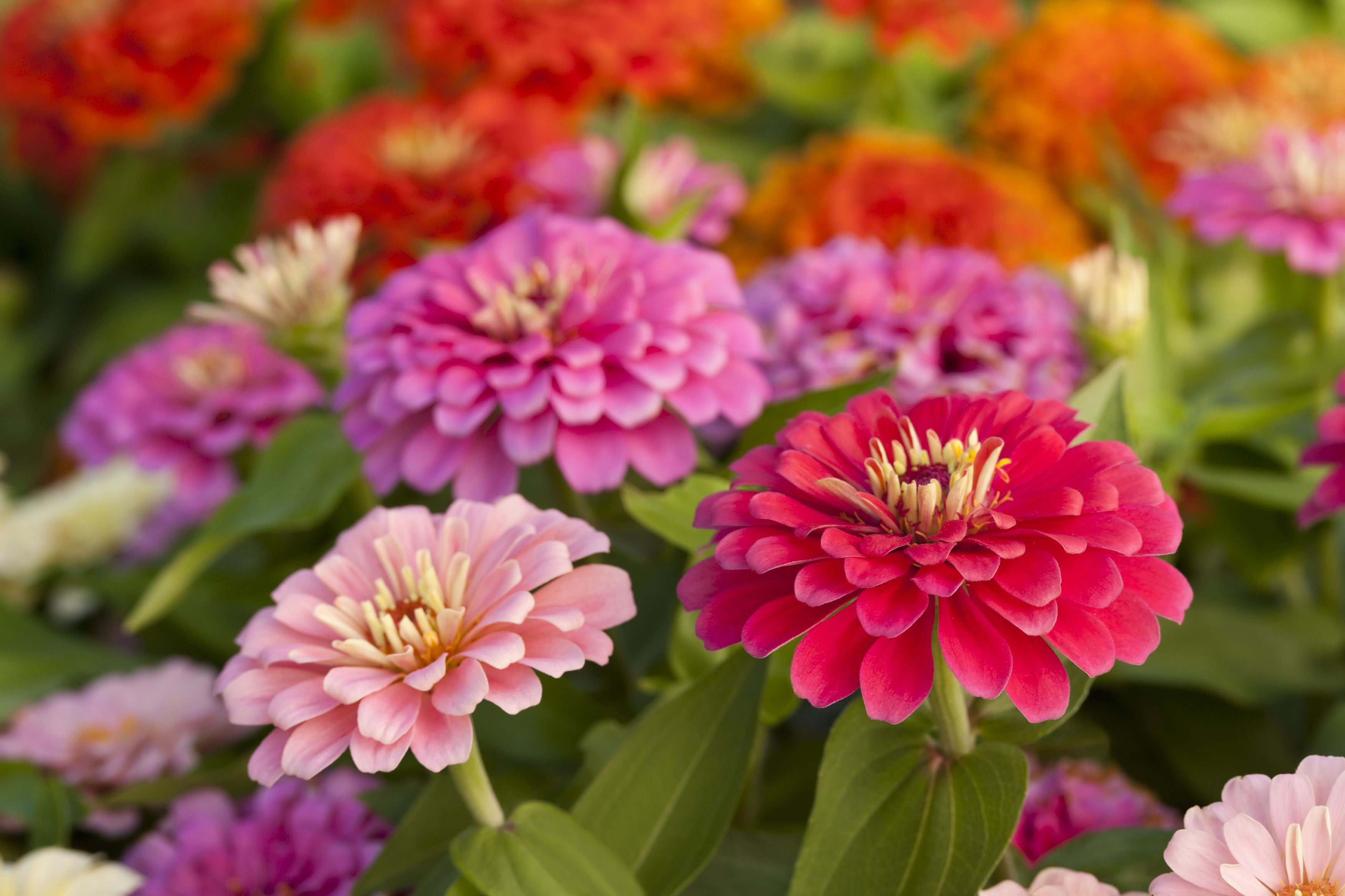 Zinnias Getty 590b918b5f9b d