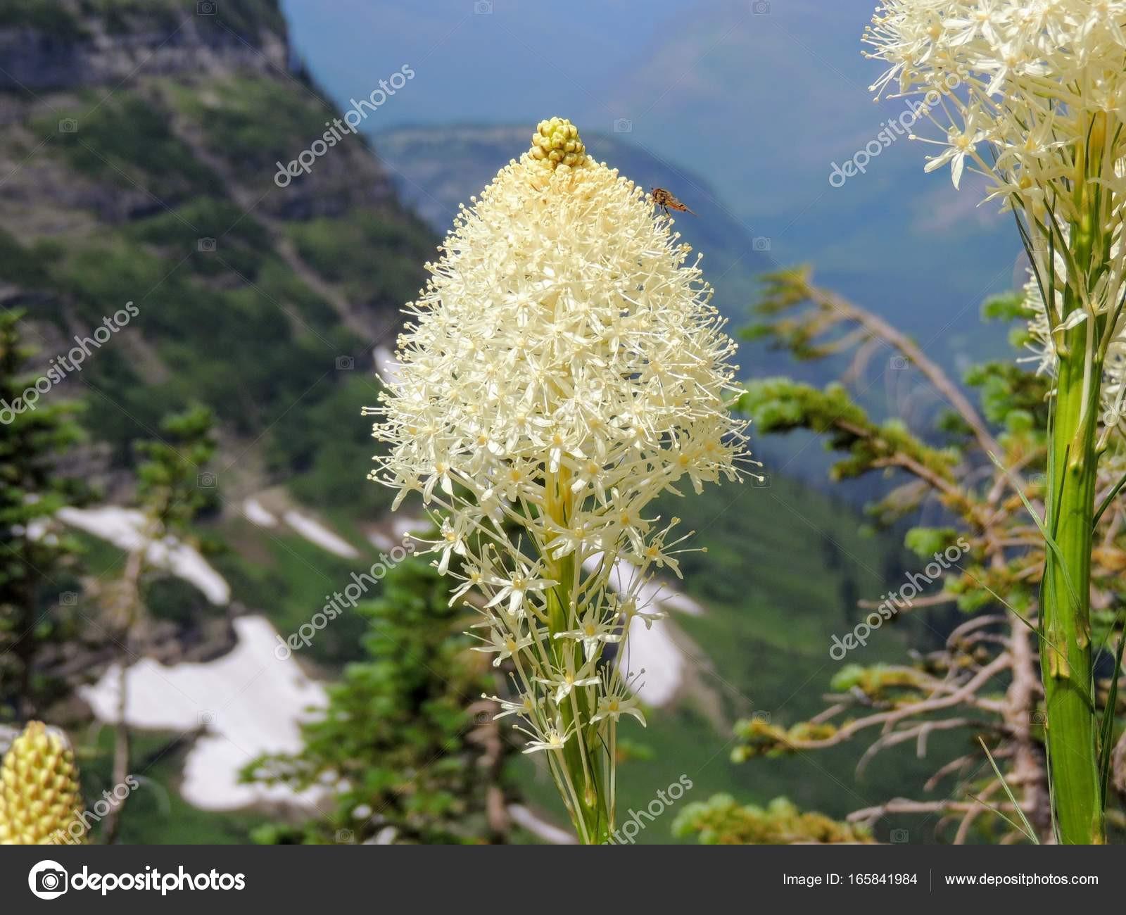 Beargrass Xerophyllum tenax biały kwiat na szlak Highline w Logan Pass na chodzenie do