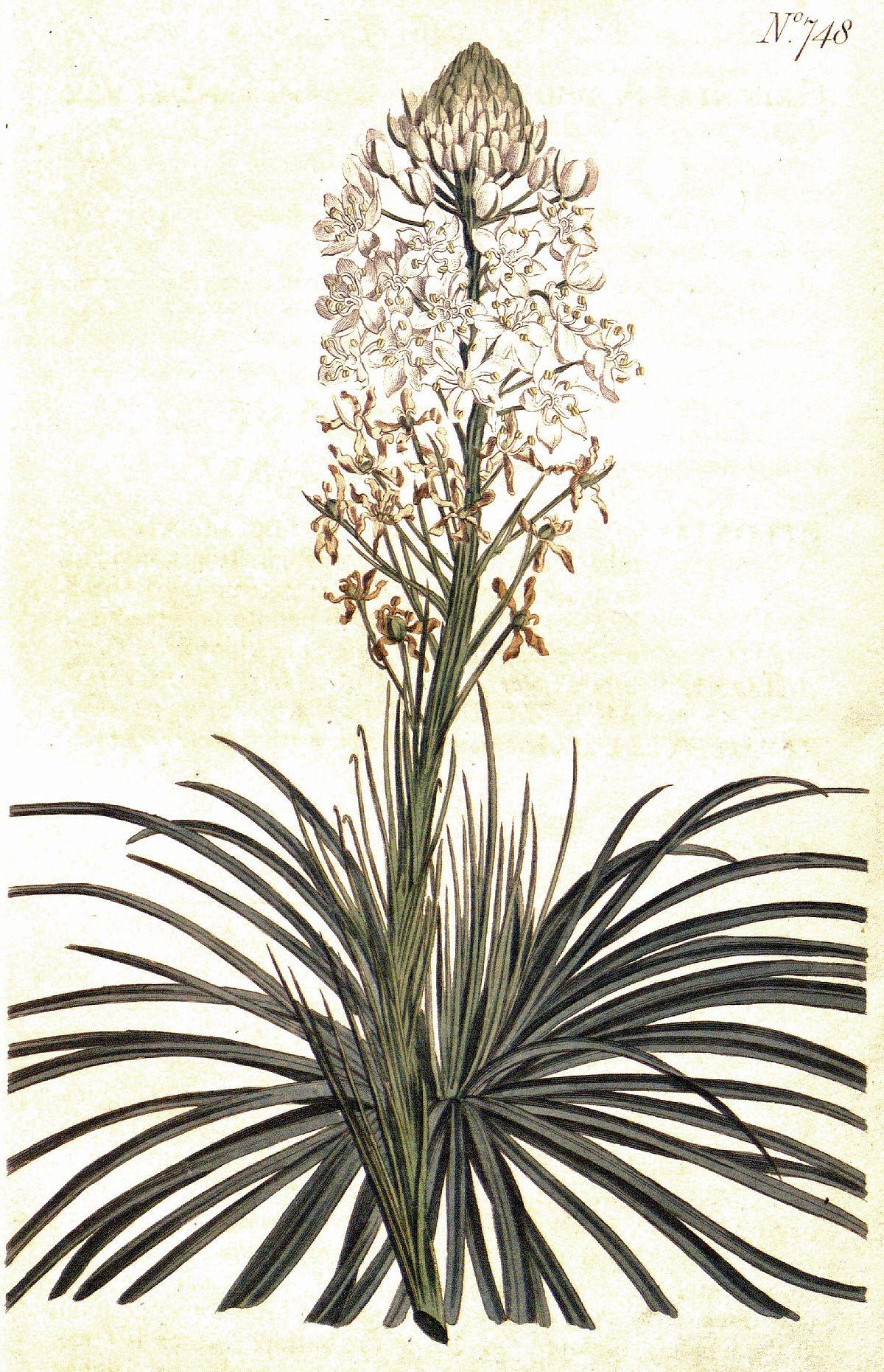 1200px Xerophyllum asphodeloides CBM