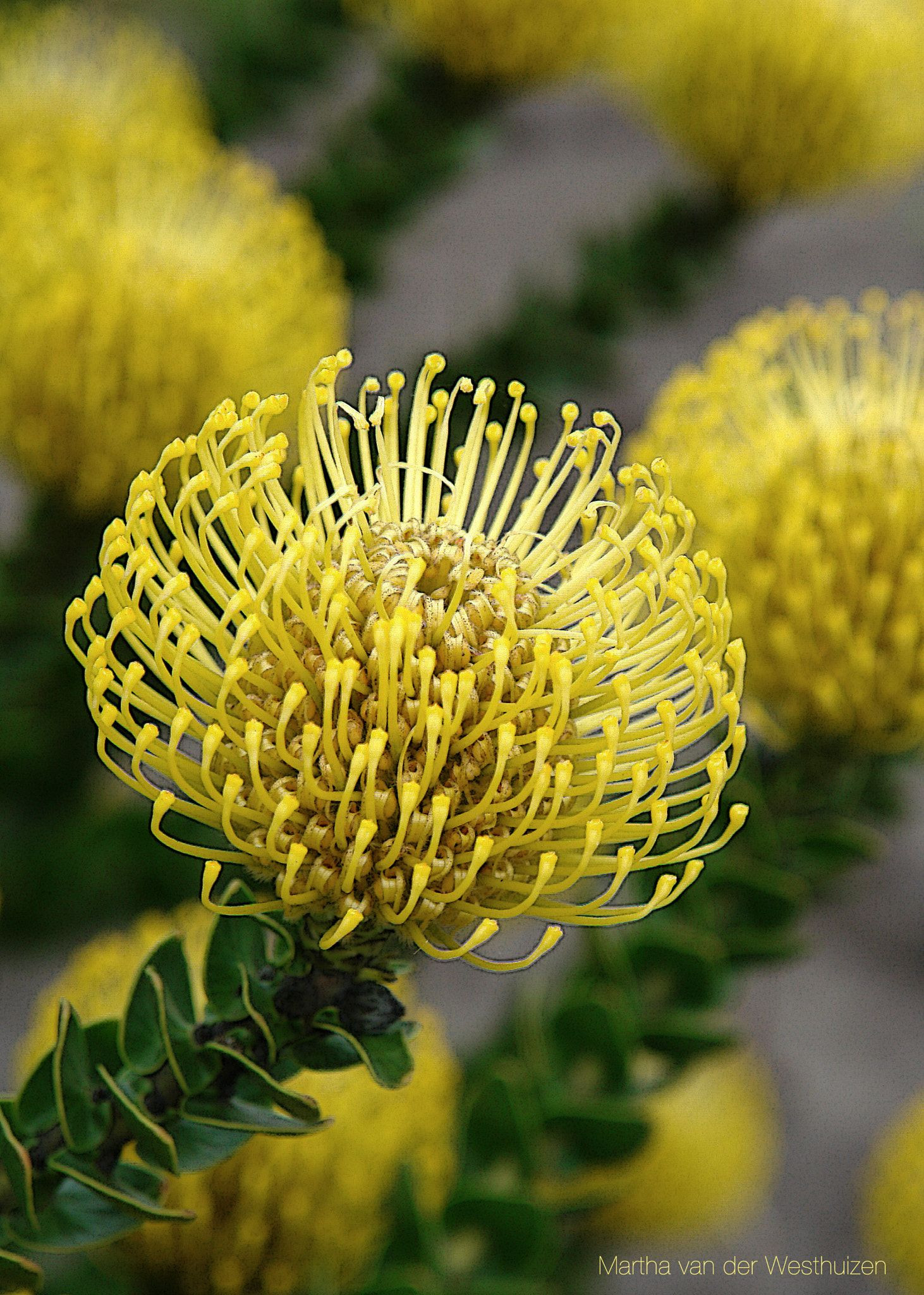 Yellow Pincushion flower family of the Protea