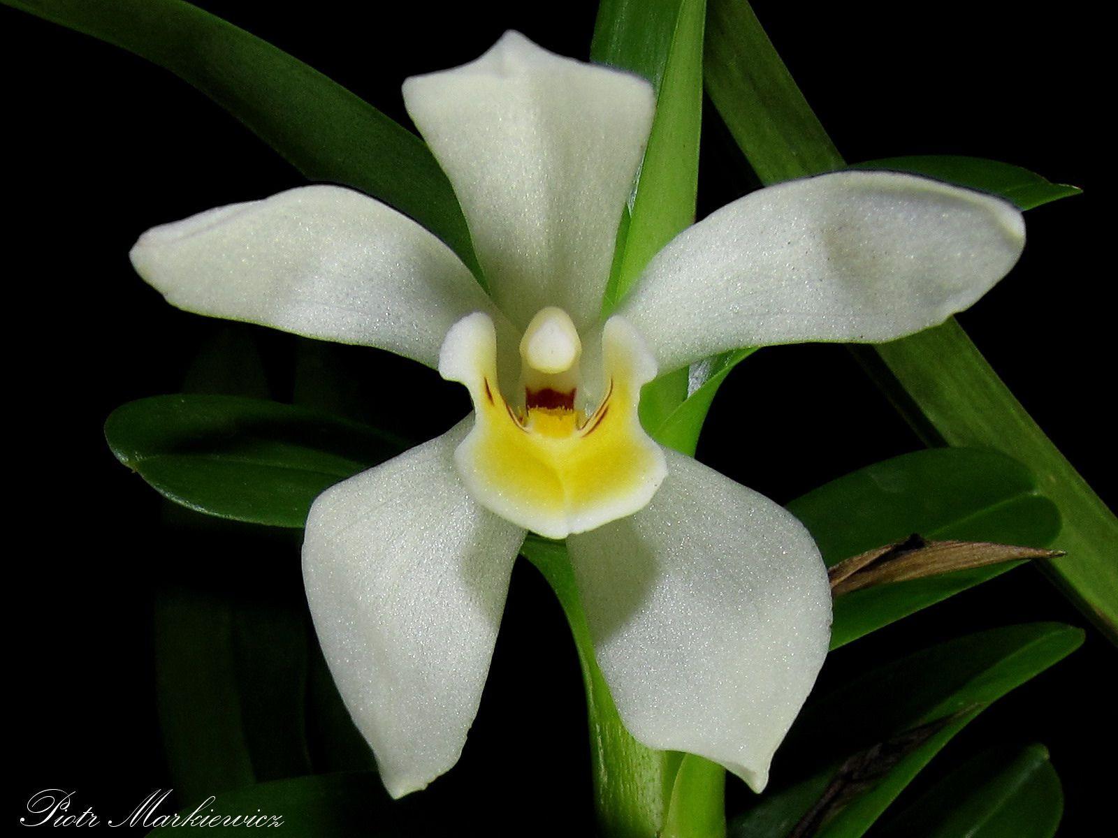 Maxillaria camaridii Flickr Sharing Orchid FlowersOrchidsDesign PatternsOrganicBeautyPlantsAmazingColors1