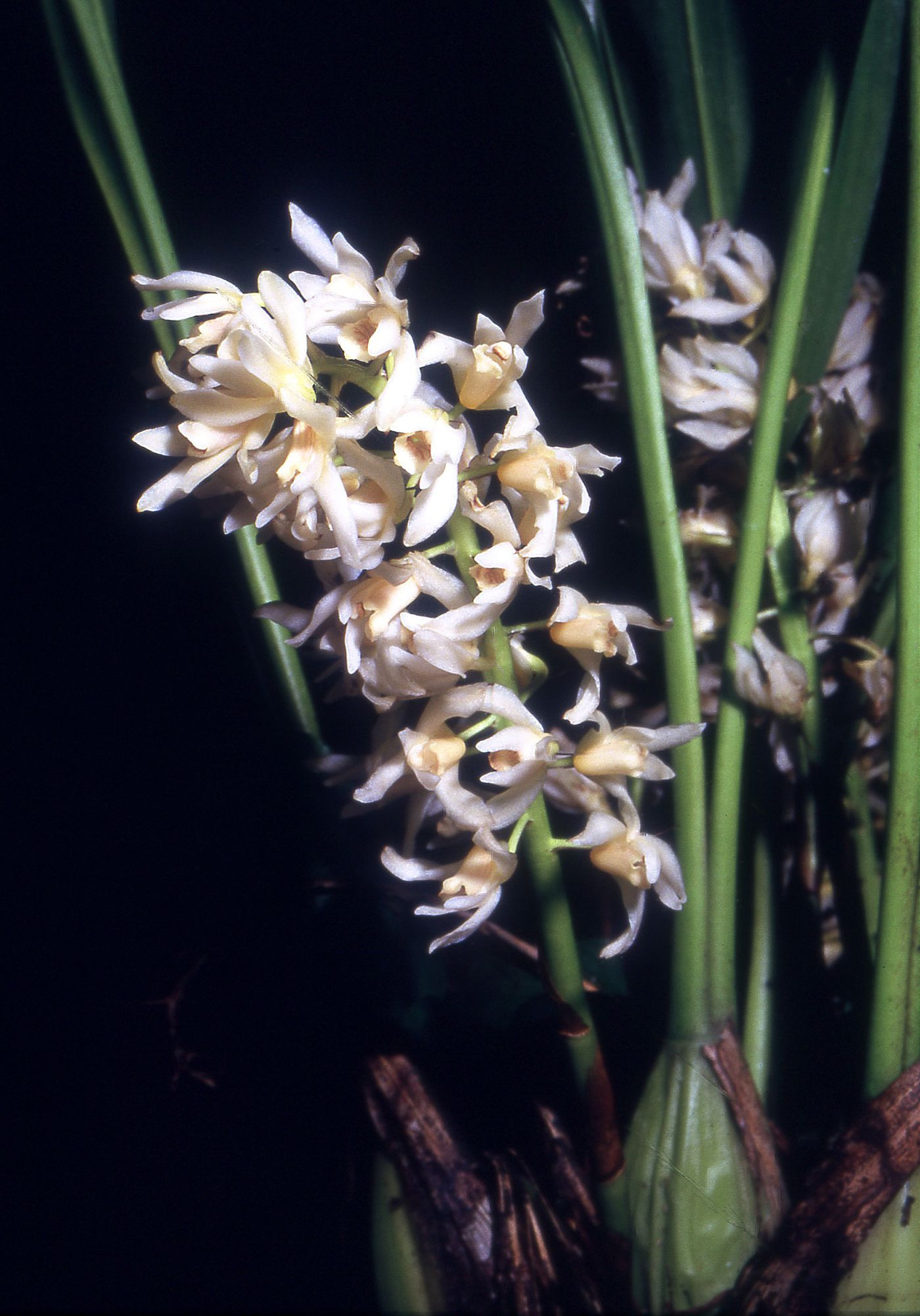 Xylobium Colleyi Flower Fresh Xylobium – Wolna Encyklopedia