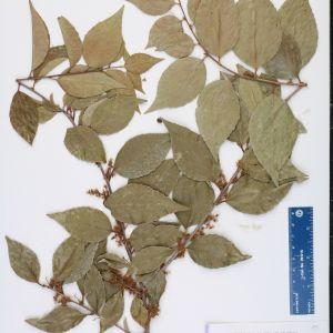 Xylosma Congestum Flower Elegant Xylosma Congesta Species Page isb atlas Of Florida Plants