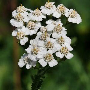 Yarrow Achillea Flower Elegant Achillea Millefolium