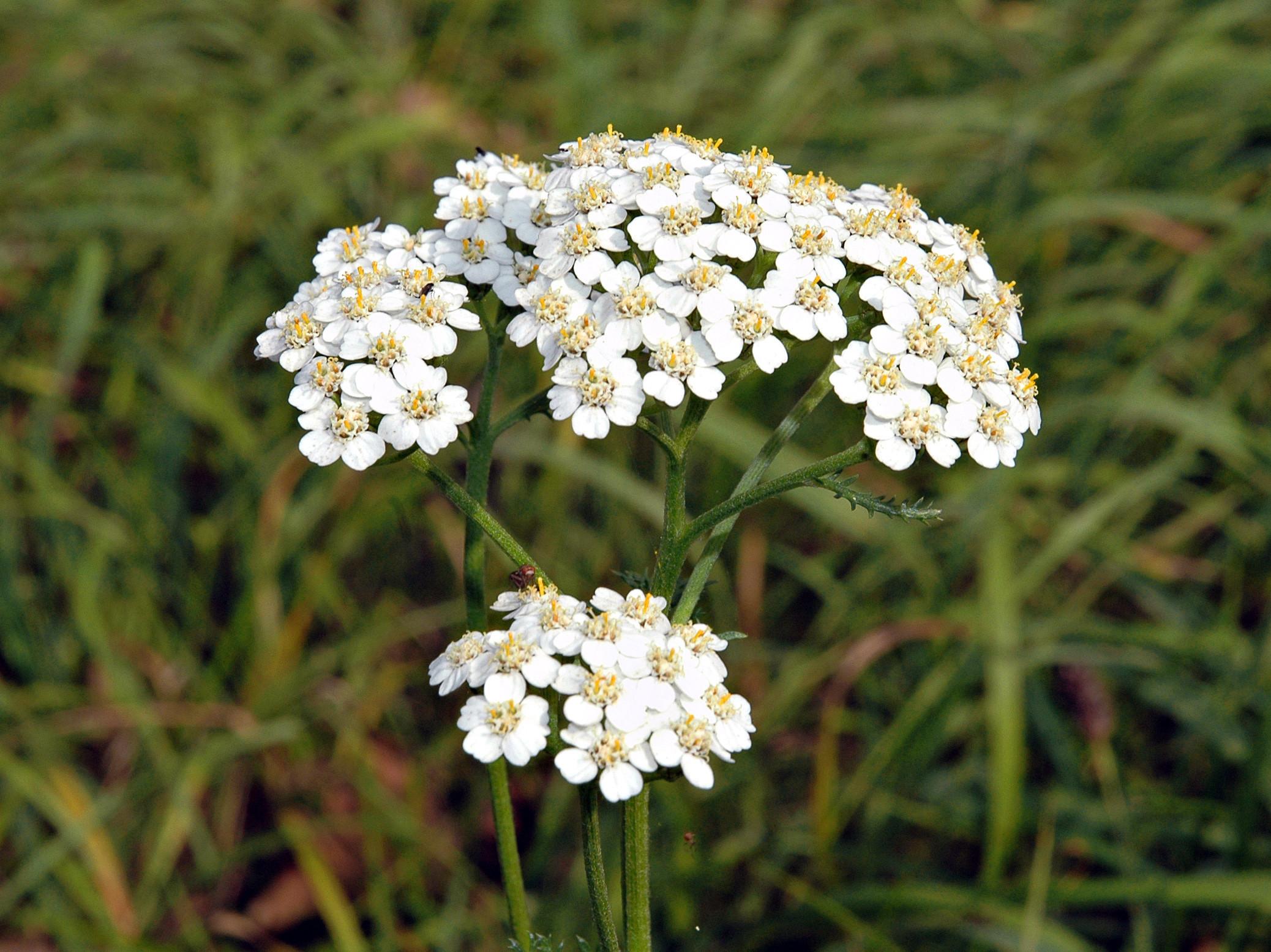 Achillea millefolium subsp millefolium besitzt weiße Blüten