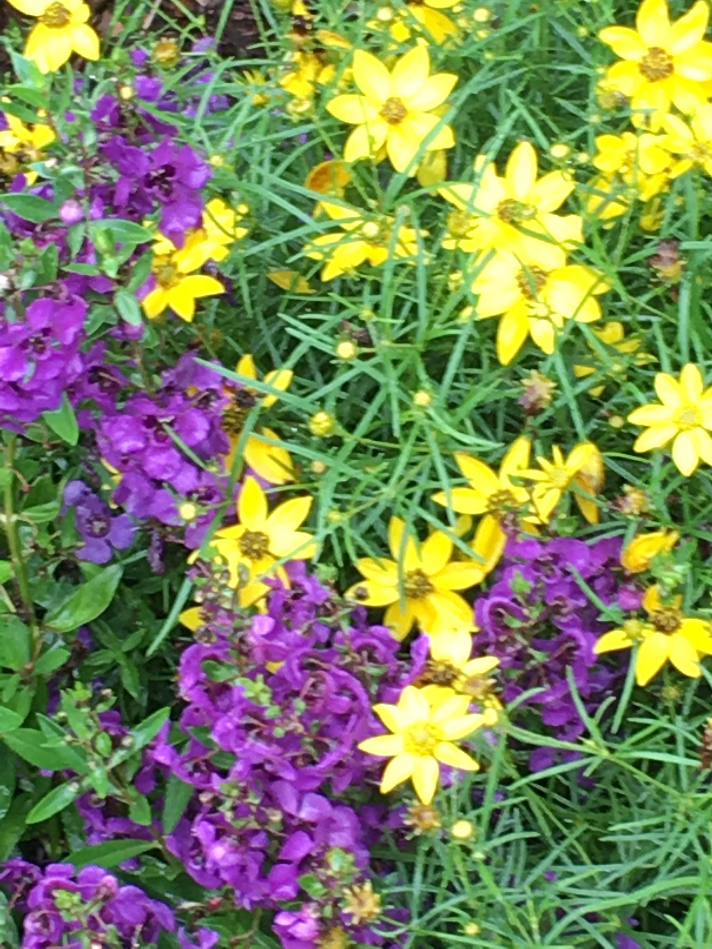 Angelonia angustifolia Archangel Dark Purple summer snapdragon Coreopsis verticillata Zagreb