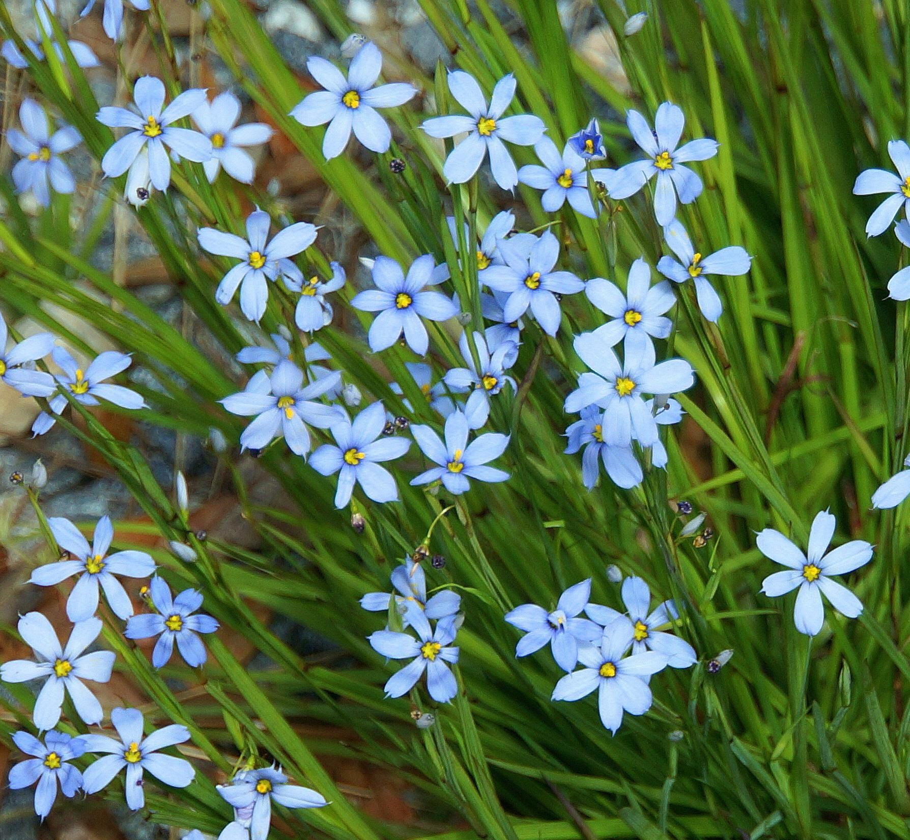 Blue Note™ Blue Eyed Grass Monrovia Blue Note™ Blue Eyed Grass Reaches 12 to 18 in tall and wide Partial shade to full sun