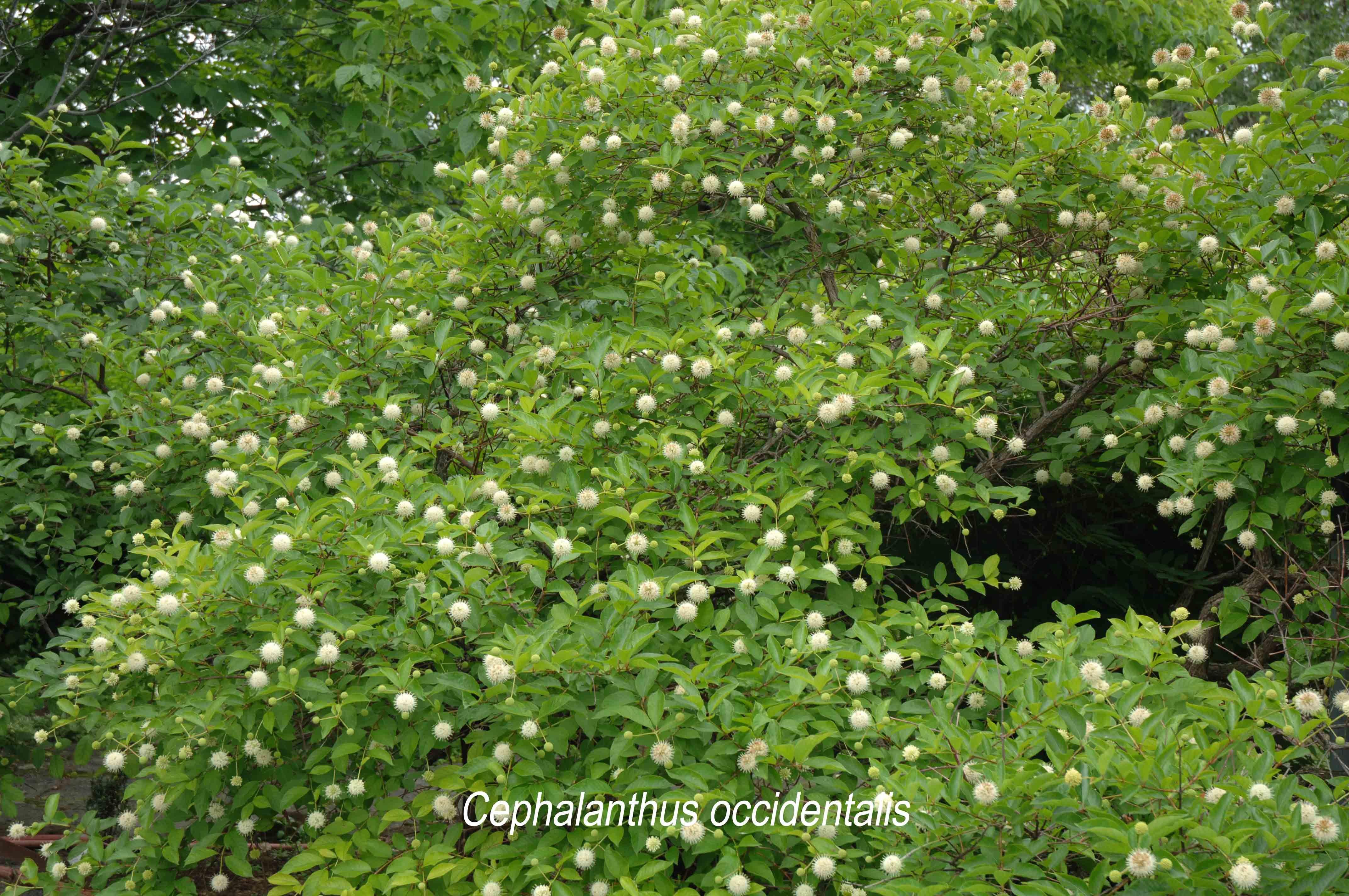 Jardins Michel Corbeil Cephalanthus occidentalis