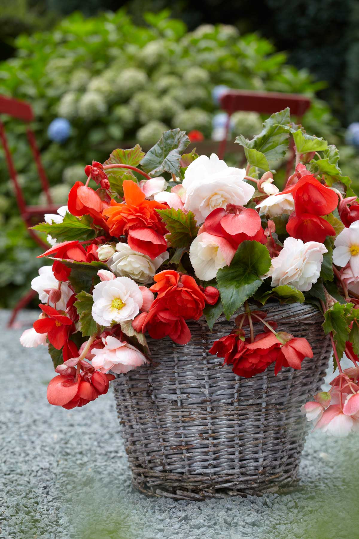 Are there Any Black Flowers Elegant All About Begonias