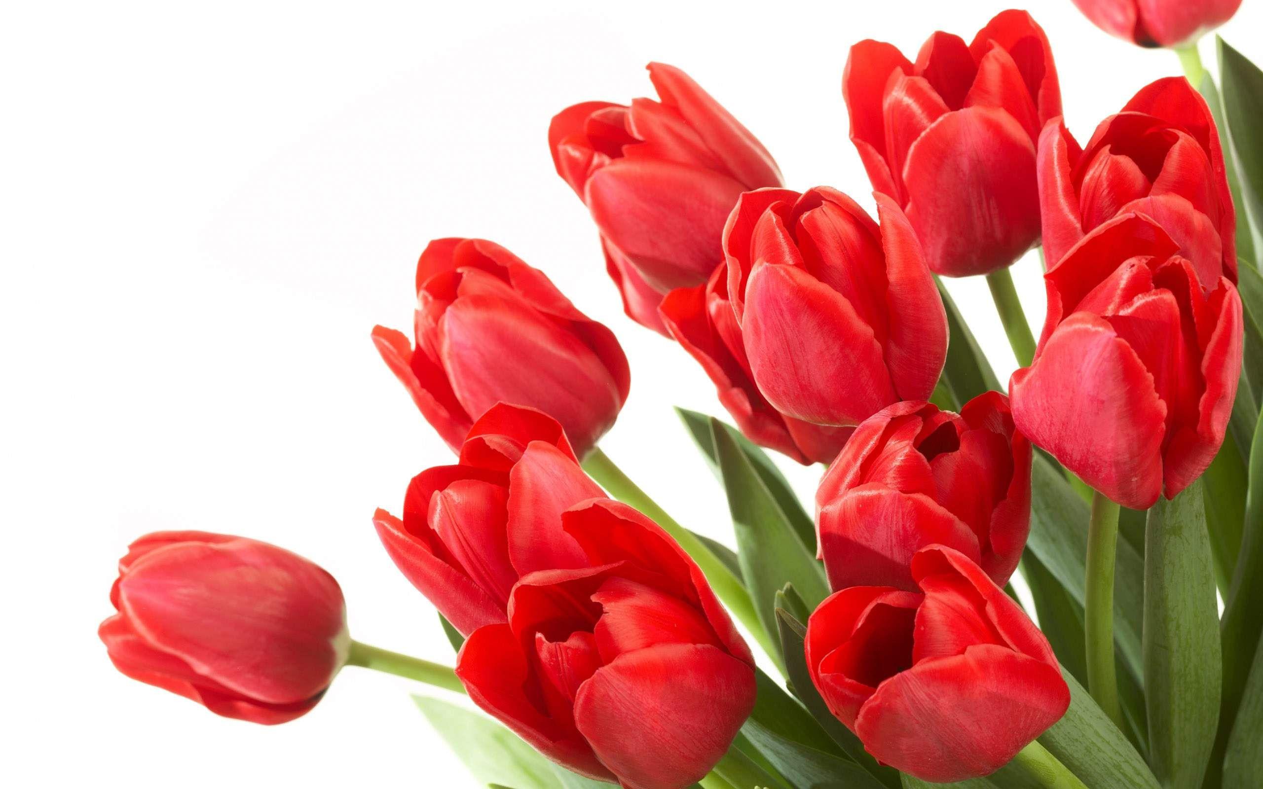 beautiful tulip flowers hd wallpapers cool desktop background photographs widescreen
