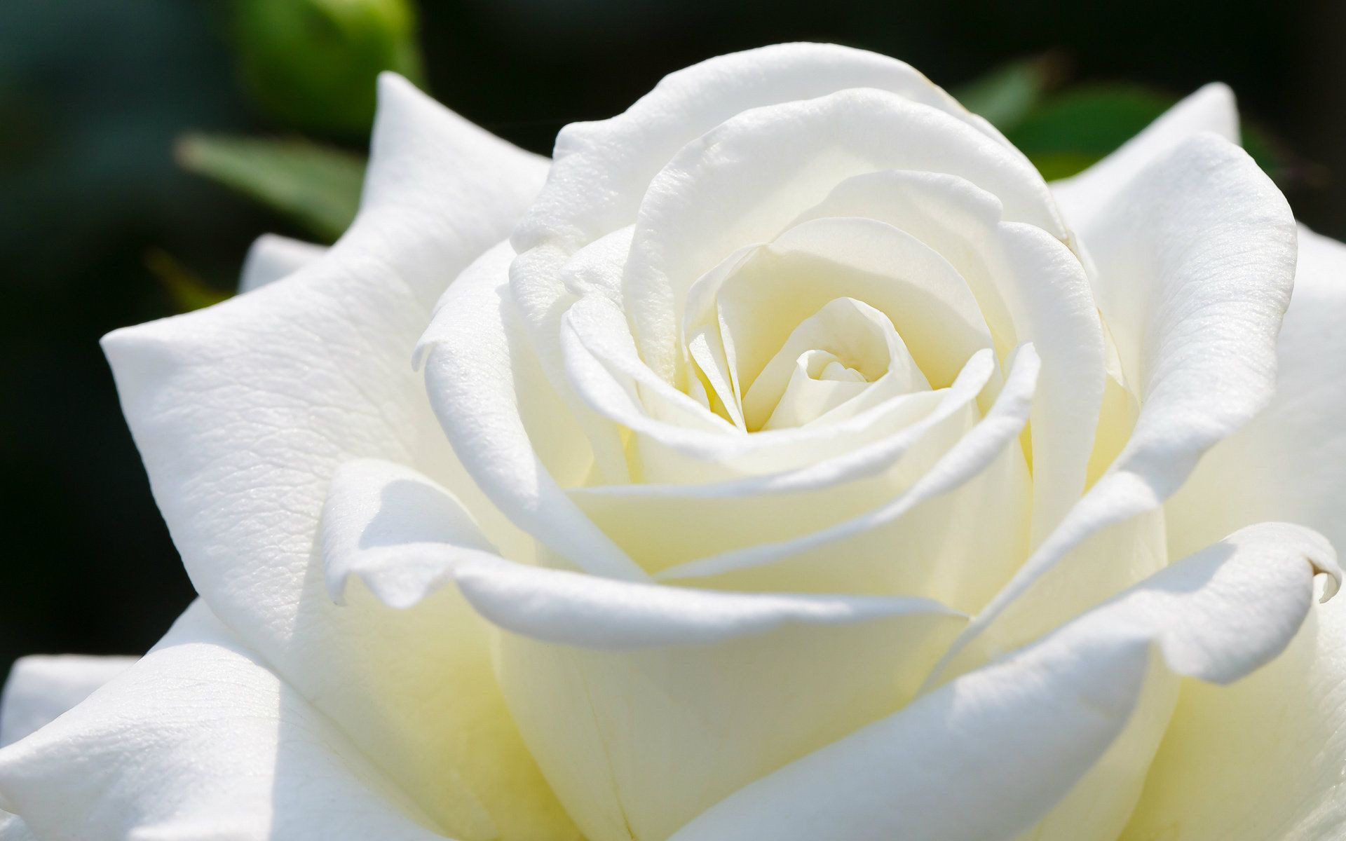 In the World Most Beautiful Roses White Rose Wallpapers HD For Desktop – Flowers