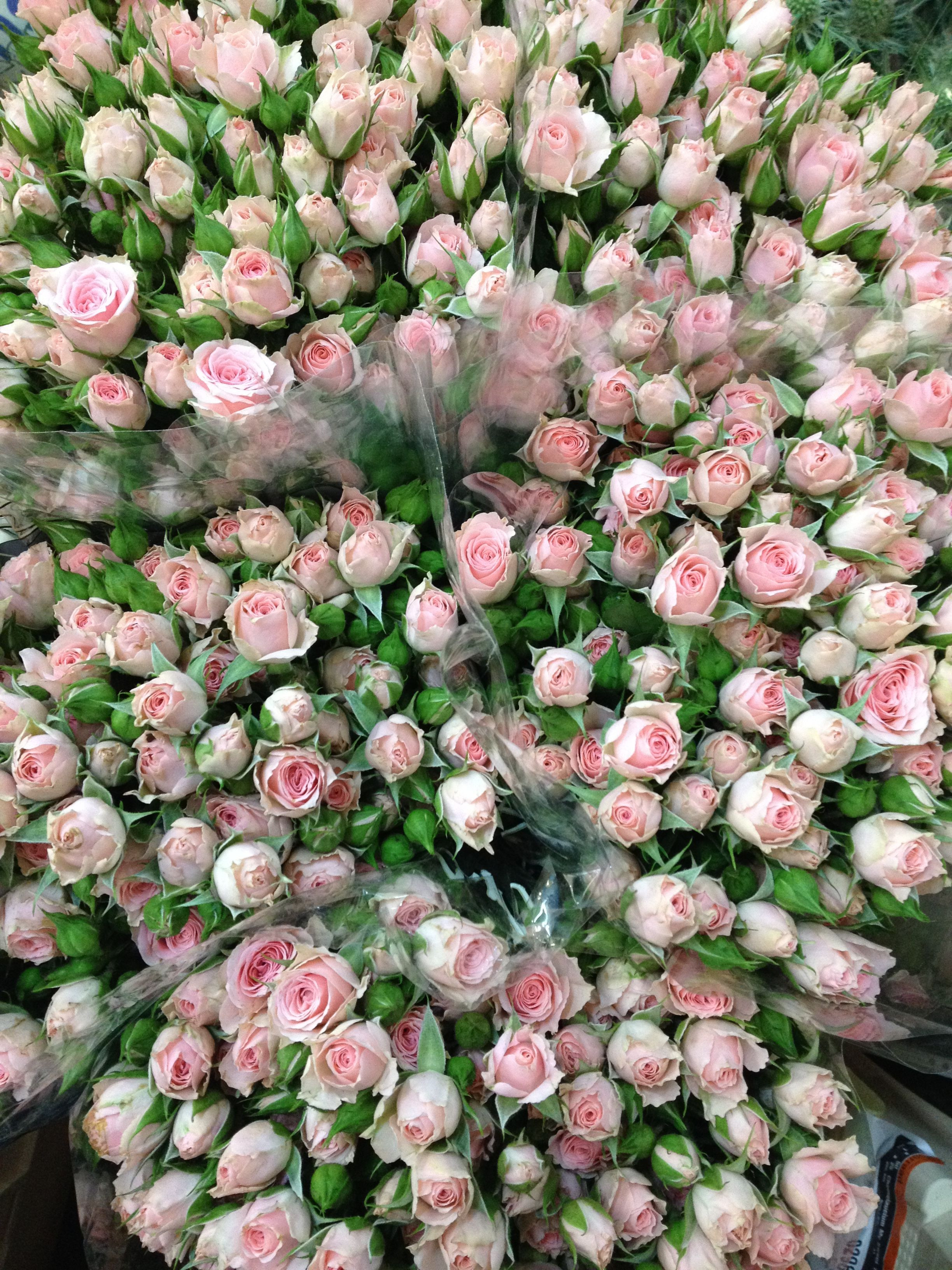 Spray Rose Lydia these are a small head Sold in bunches of 10 stems from the Flowermonger the wholesale floral home delivery service